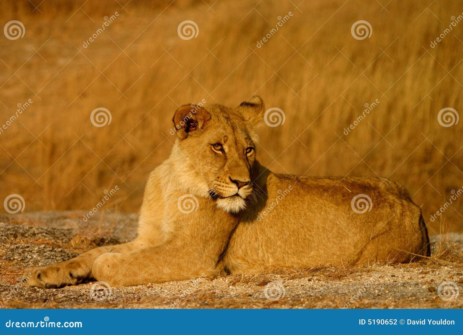 Lwy płci żeńskiej young