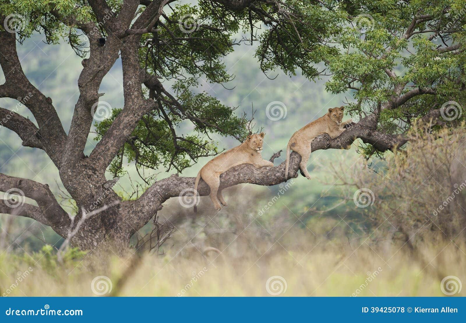 Lwy w Drzewnym Południowa Afryka
