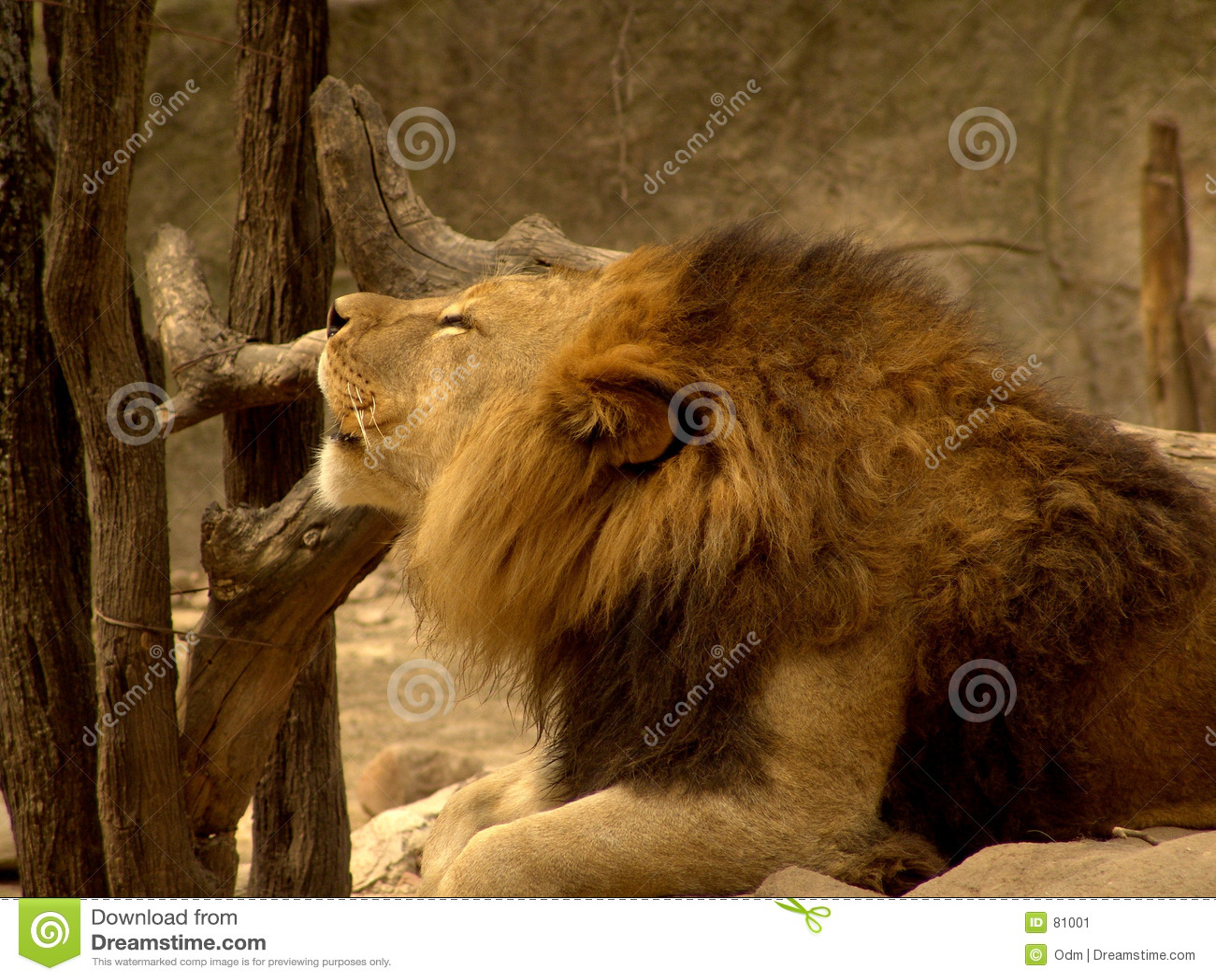 Lwy w zoo