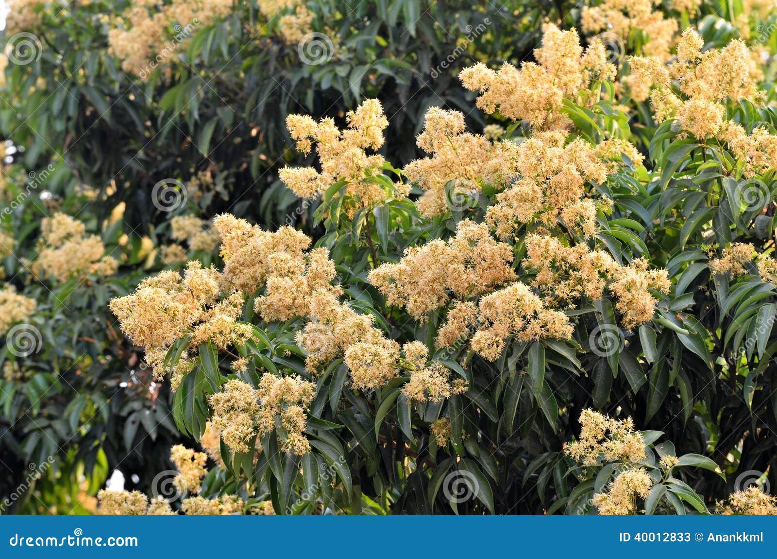 Lychee flower in lyche...