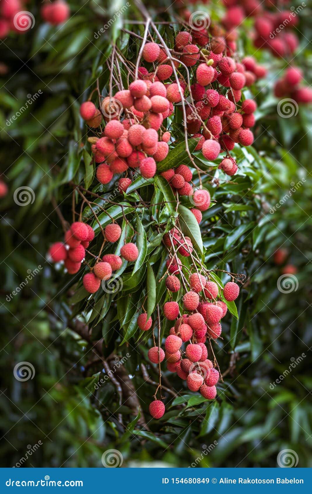 Lychees στο δέντρο