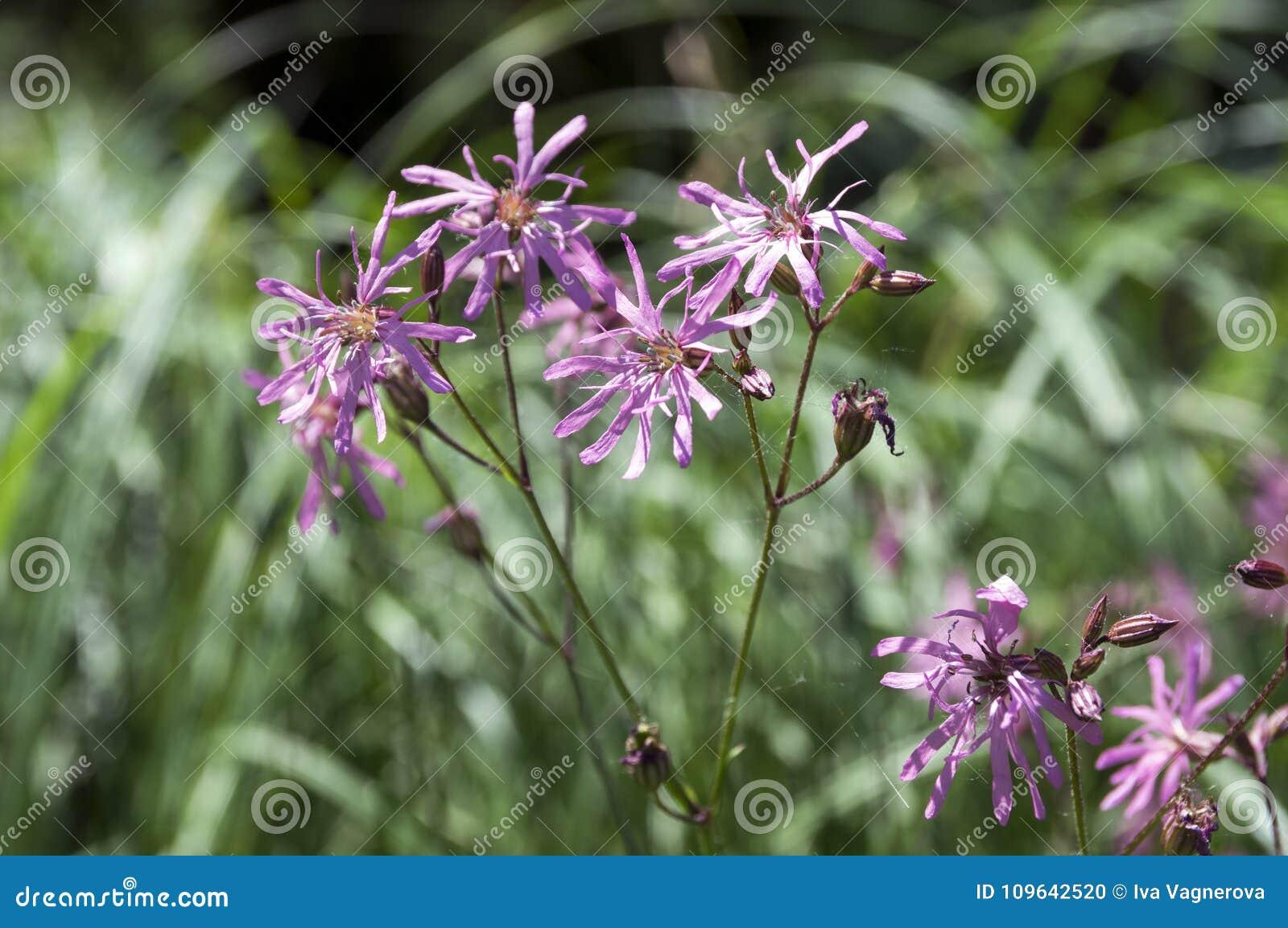 Lychnis Flos Cuculi Blooming Flower On Meadow Stock Photo Image Of