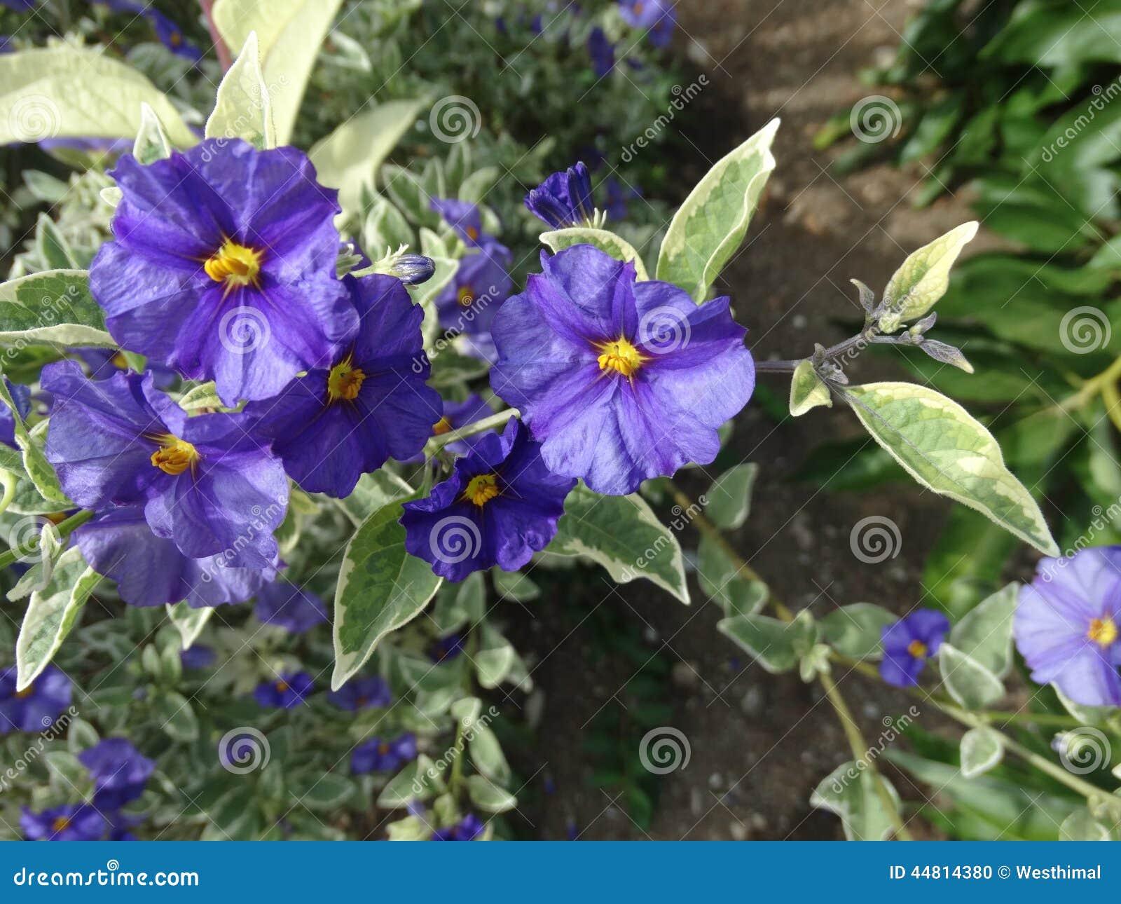 Lycianthes Rantonnetii Variegata Blue Potato Bush 'Royal Robe Vari