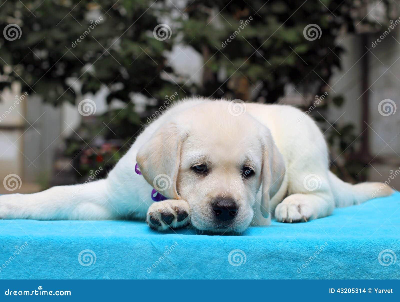 Download Lycklig Gul Labrador Valp På Blått Arkivfoto - Bild av gulligt, sött: 43205314