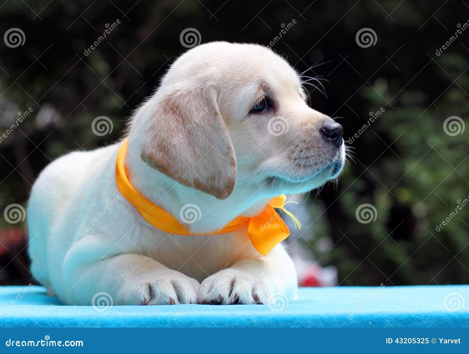 Download Lycklig Gul Labrador Valp På Blåtttabellen Fotografering för Bildbyråer - Bild av pedigree, älskvärt: 43205325