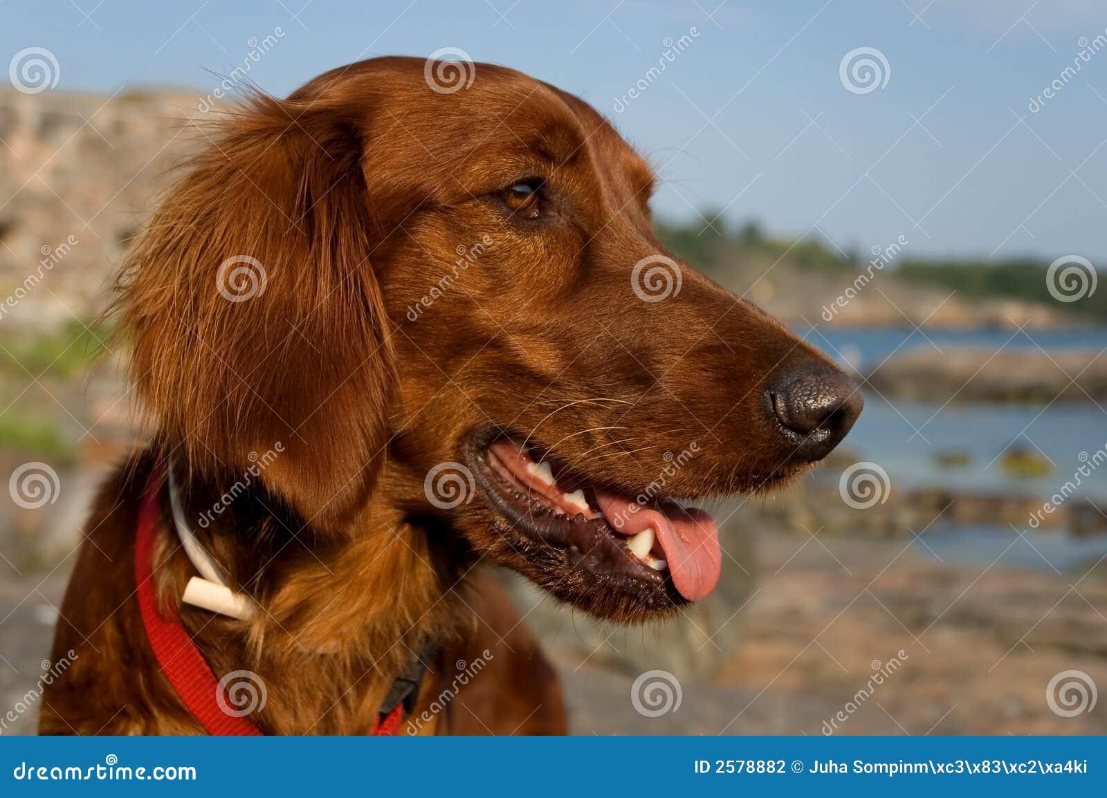 Lycklig hund