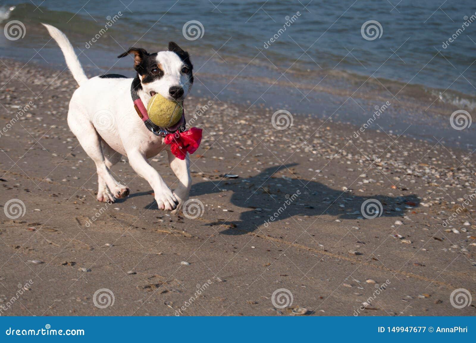 Lycklig svartvit hund på stranden