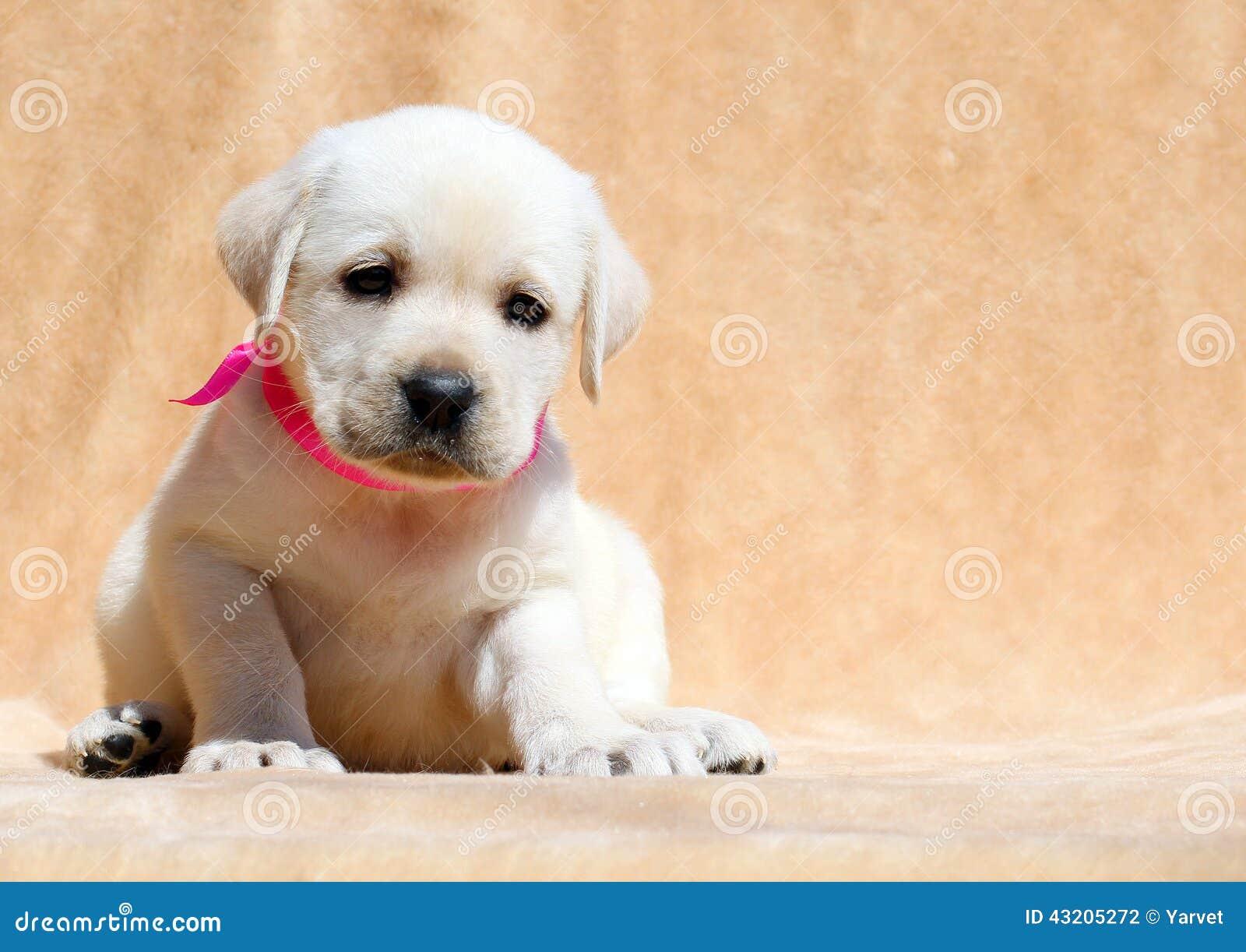 Download Lyckligt Gult Slut För Labrador Valpstående Upp Arkivfoto - Bild av barn, sött: 43205272