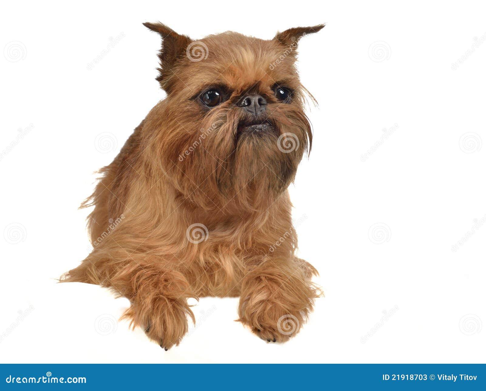 Small Griffon Dog