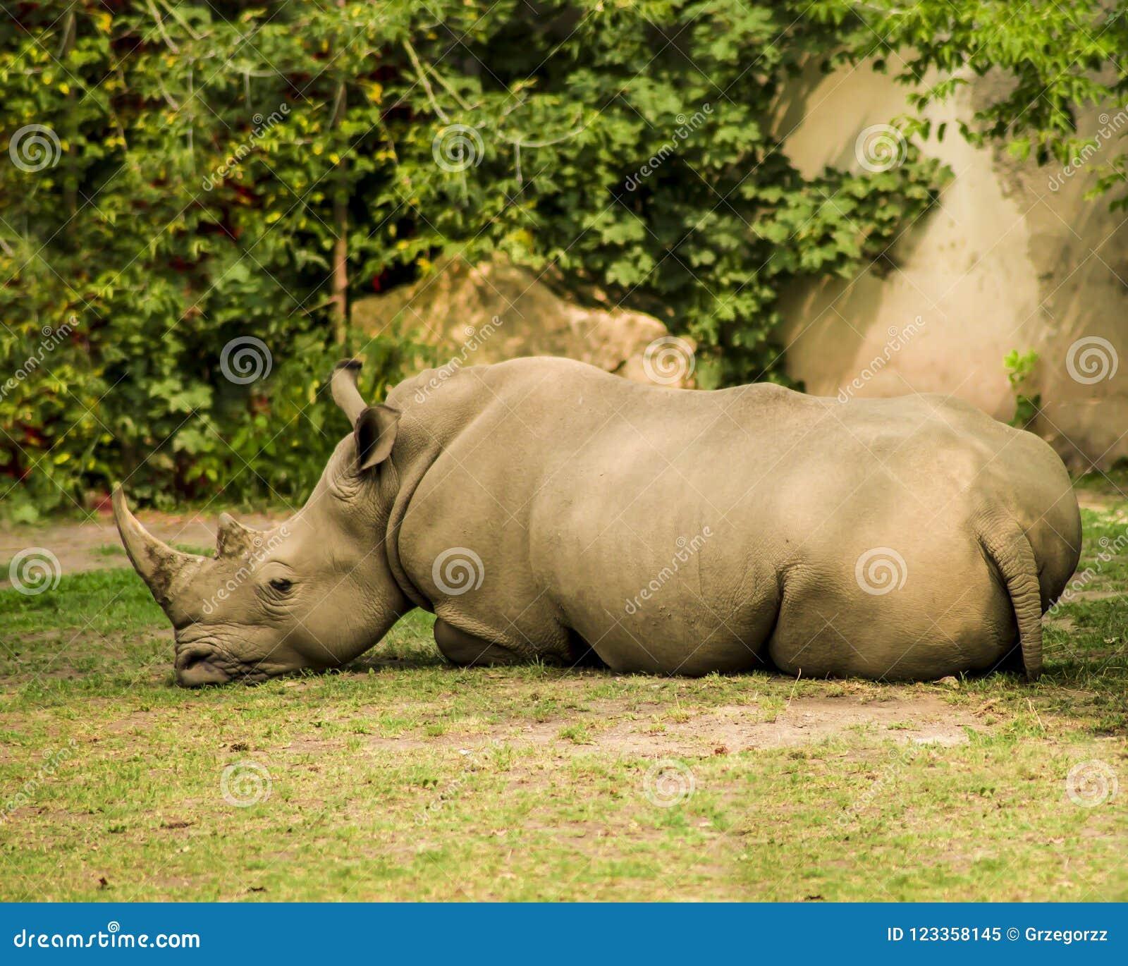 Lying Rhino Against The Background Of Rocks And Vegetation
