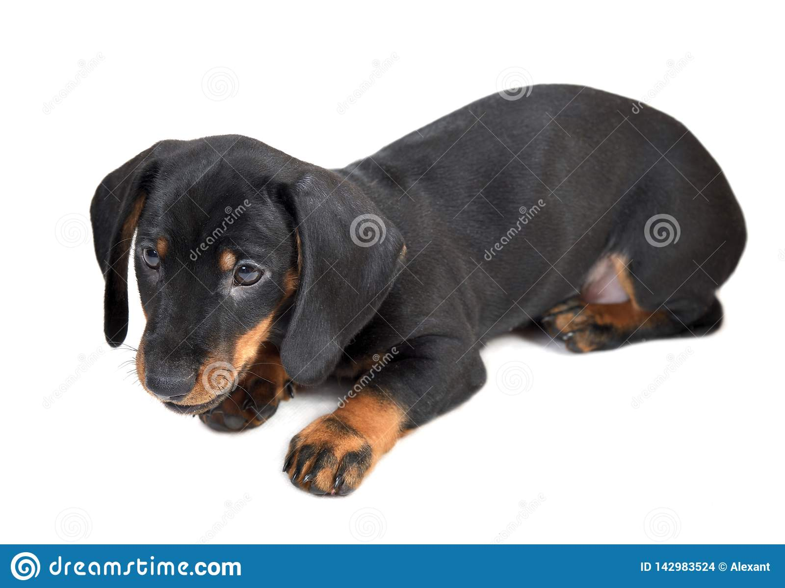Lying two-month smooth black and tan dachshund puppy