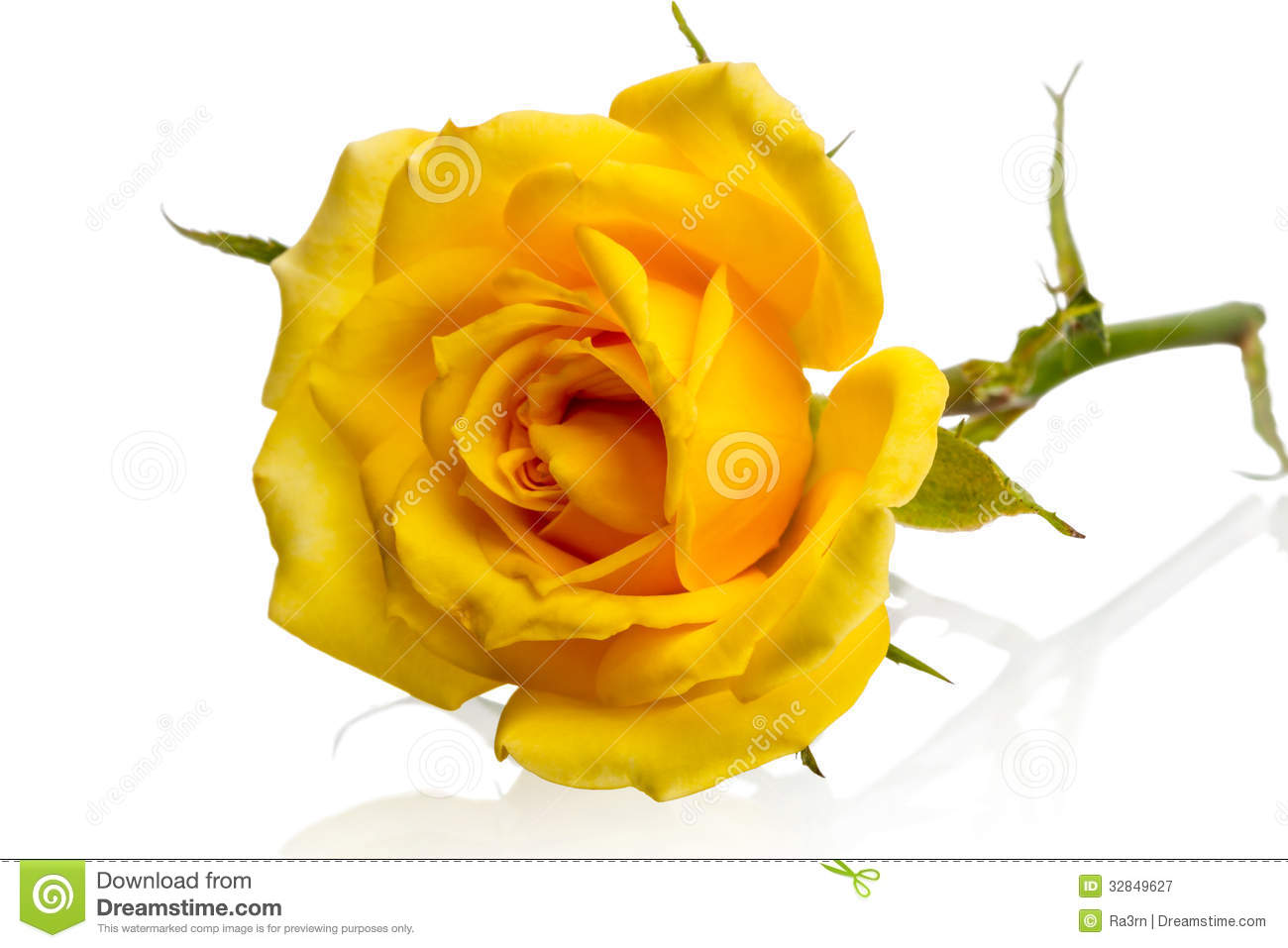 Lying yellow rose stock image. Image of flower, color ...
