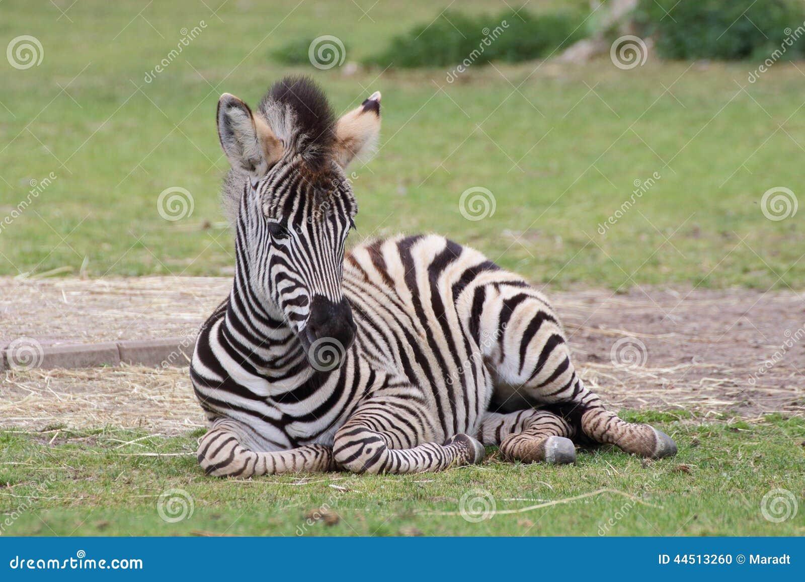 Lying zebra baby closeup view stock photo image