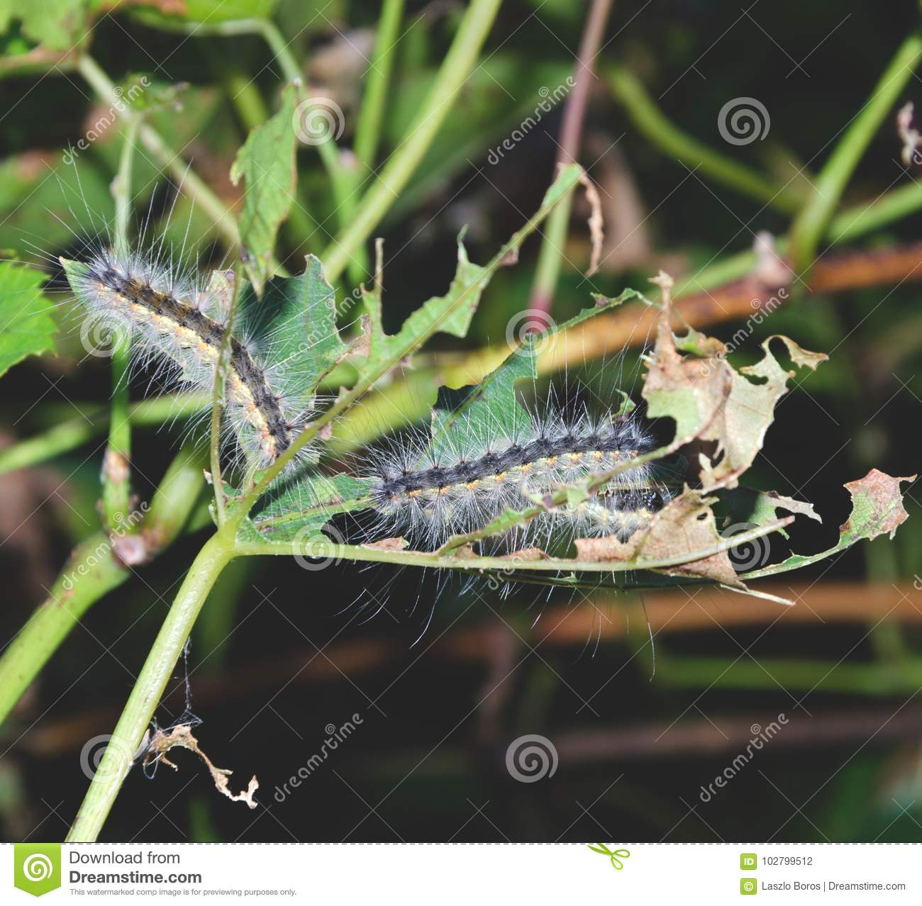 Lymantria dispar caterpillars. European gypsy moth on a grape leaf.