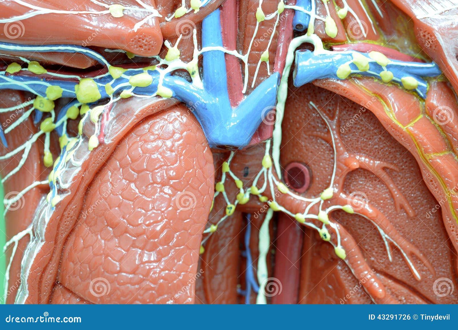 Lymfatiskt system