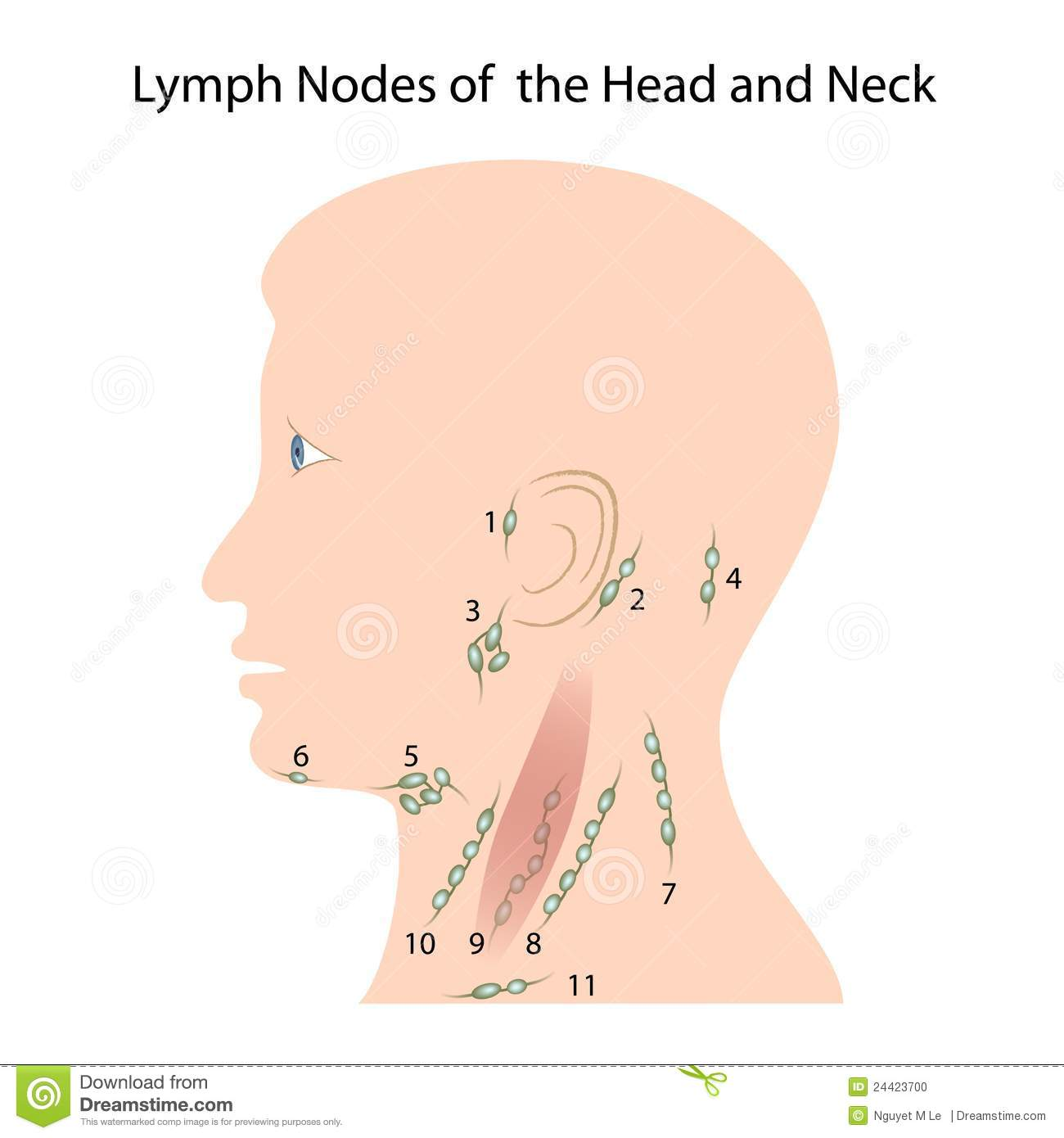 Lymph Nodes Of The Head And Neck Stock Vector - Illustration of ...