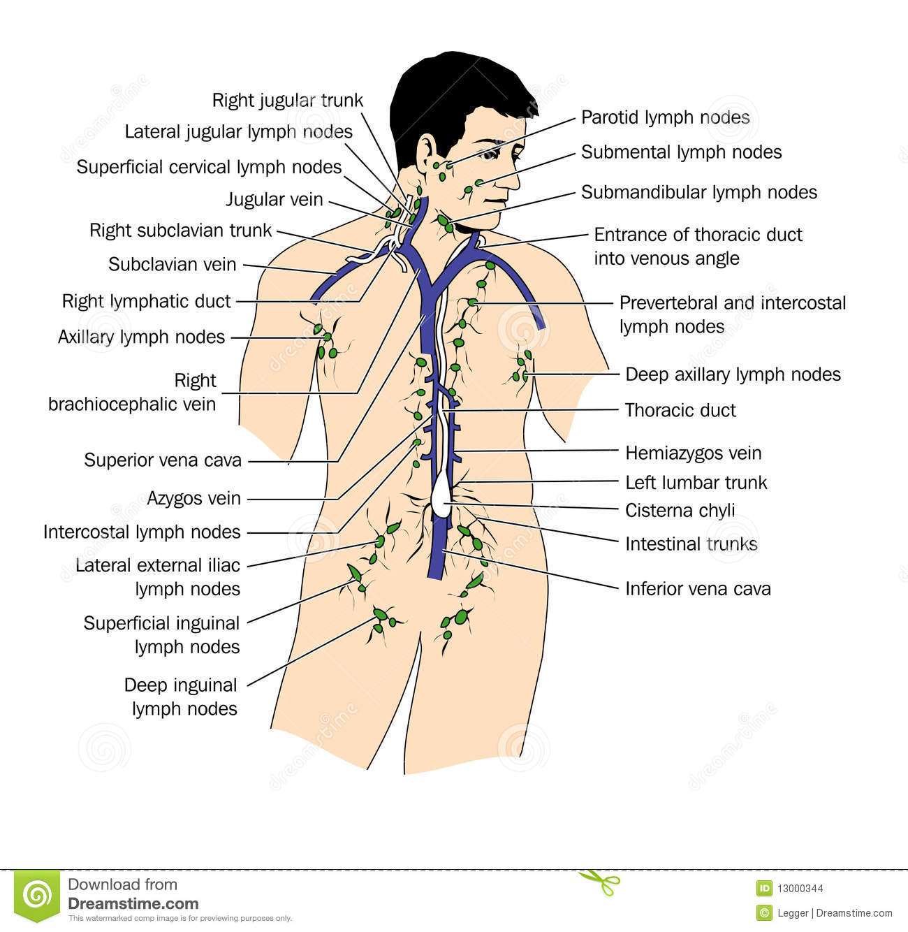 The lymph system stock vector Illustration of nodes
