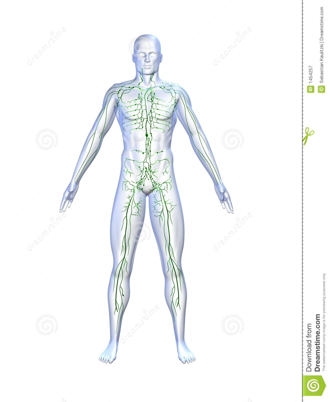 Lymphatic System Stock Illustration Illustration Of Medical 1454257