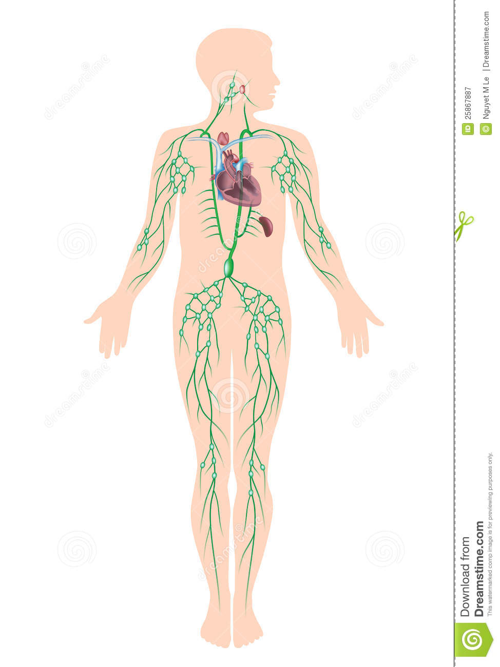 The Lymphatic System Stock Vector Illustration Of Gland 25867887