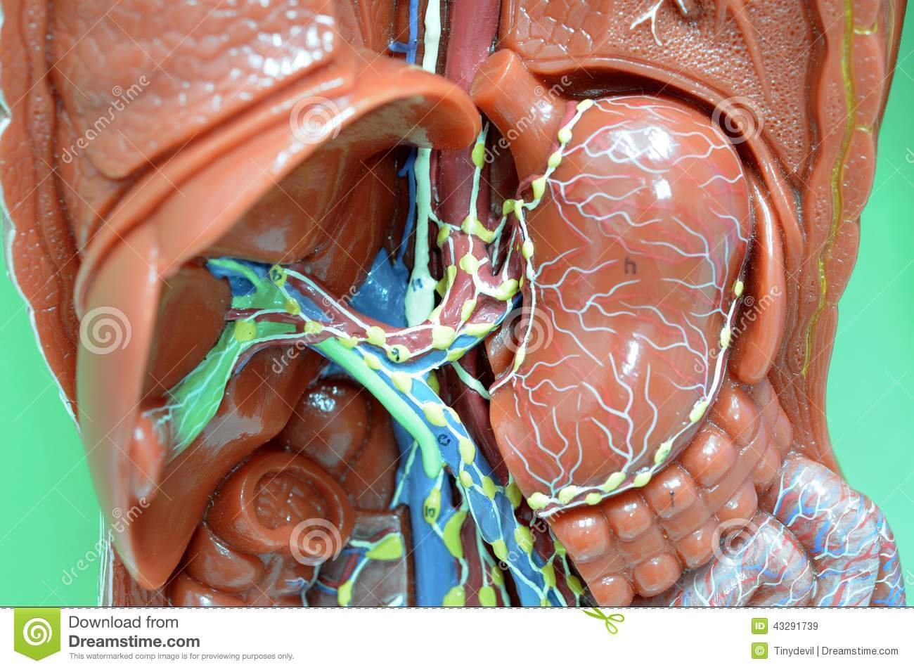 Lymphatic System Stock Image Image Of Lymphatic Brain 43291739