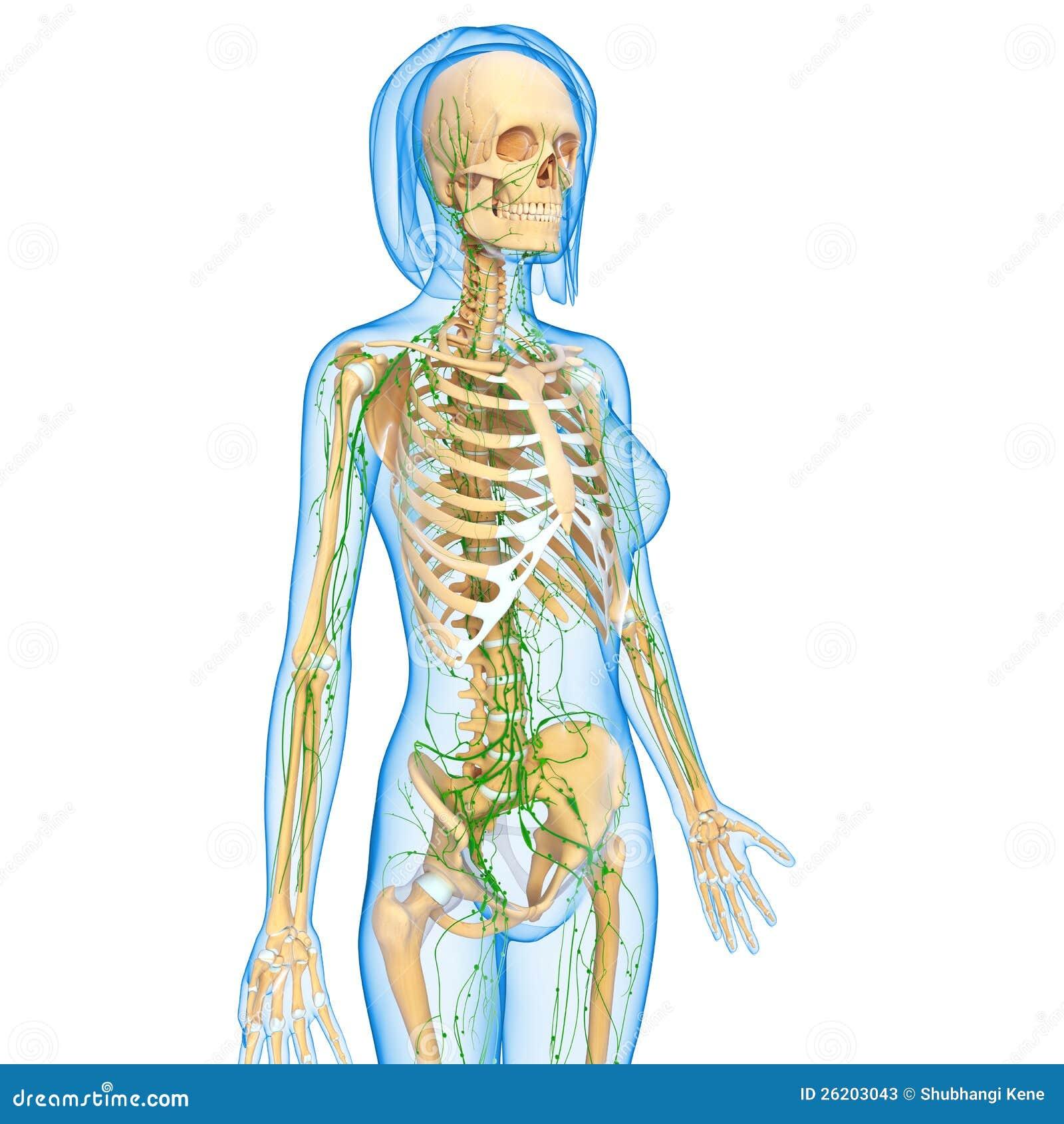 Lymphatic System Of Female Body Stock Illustration Illustration Of