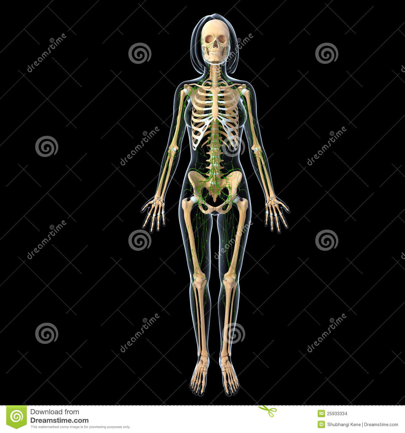 Lymphatic System Of Female Full Body Stock Illustration