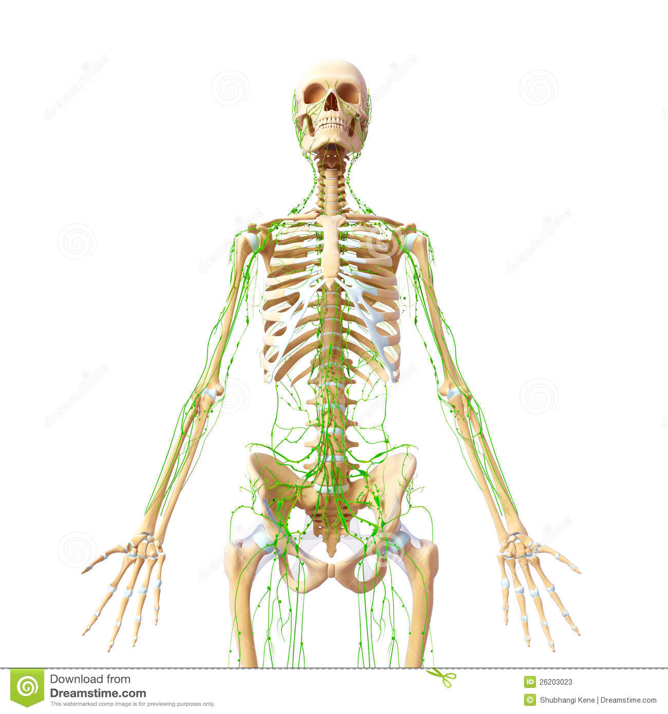 Lymphatic System Of Male Full Body Stock Illustration - Illustration ...
