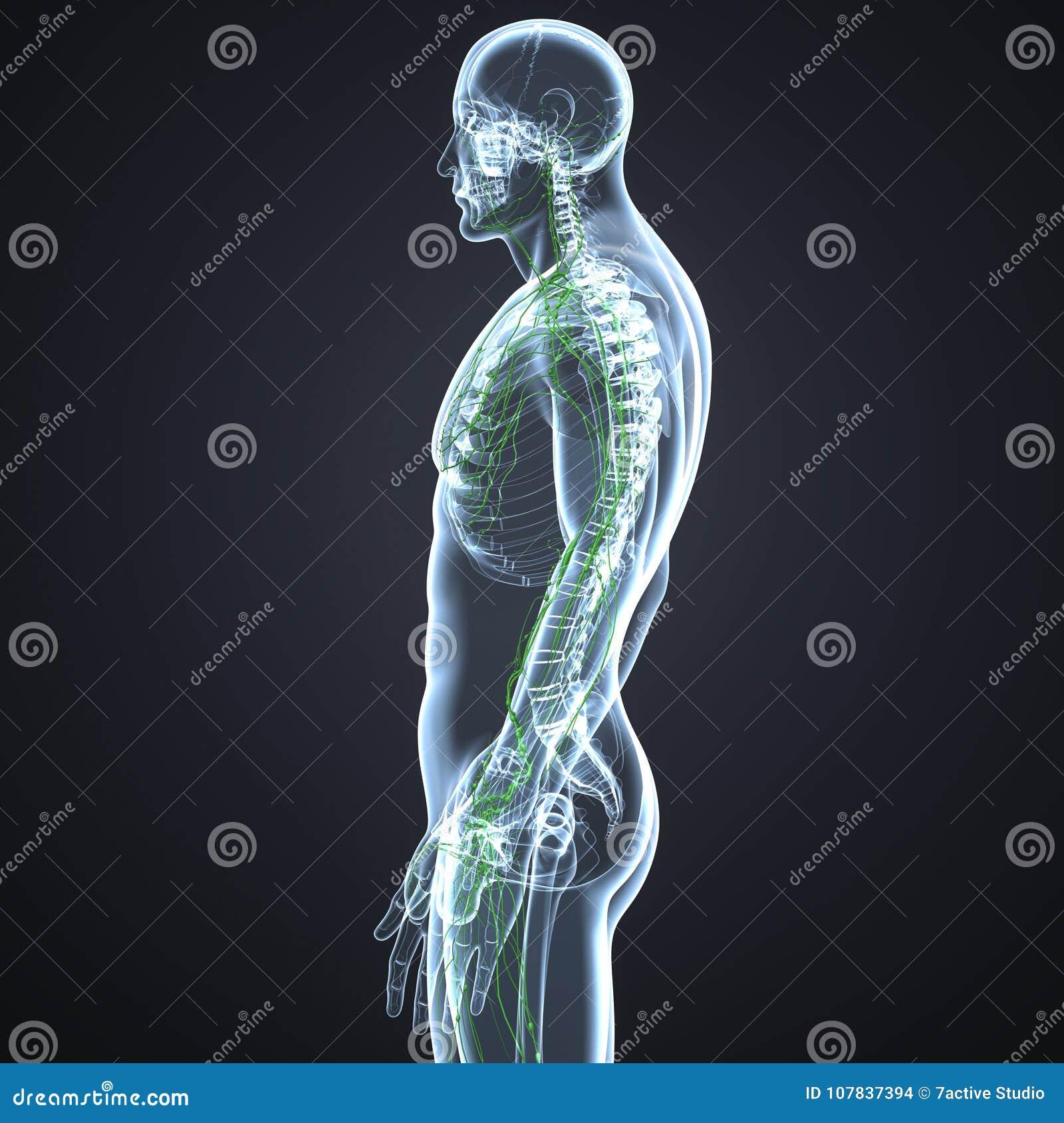 Erfreut Lymphknoten Menschliche Anatomie Zeitgenössisch ...