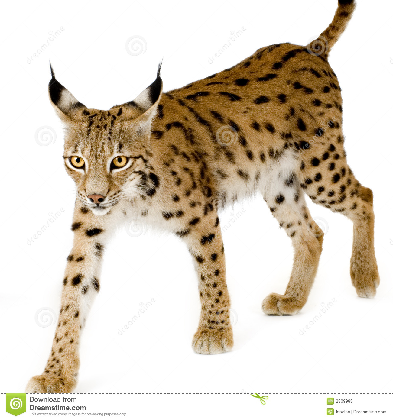 Lynx 2 Years Stock Photos Image 2809983