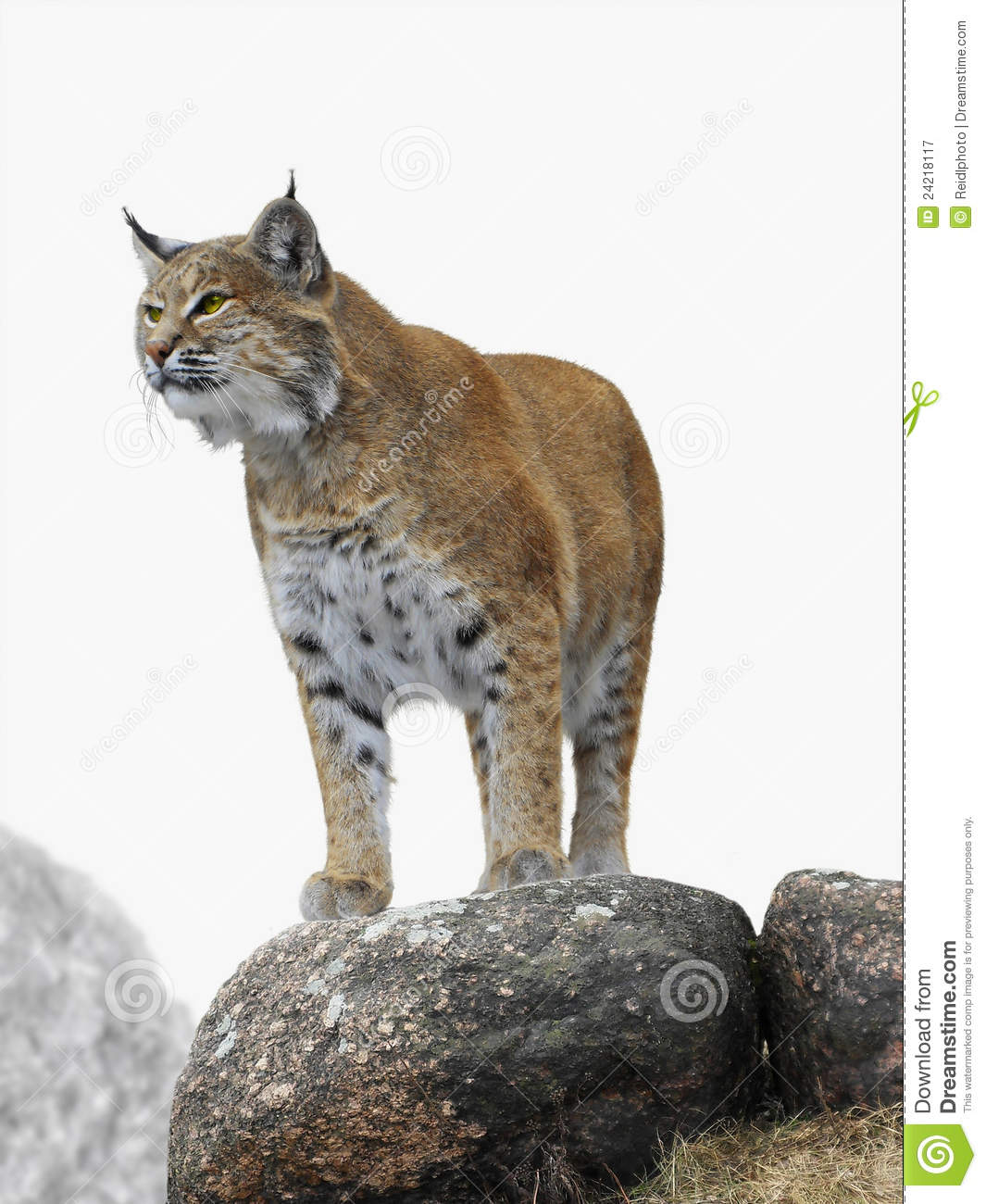 Download Lynx stock image. Image of beast, paws, image, formidable - 24218117