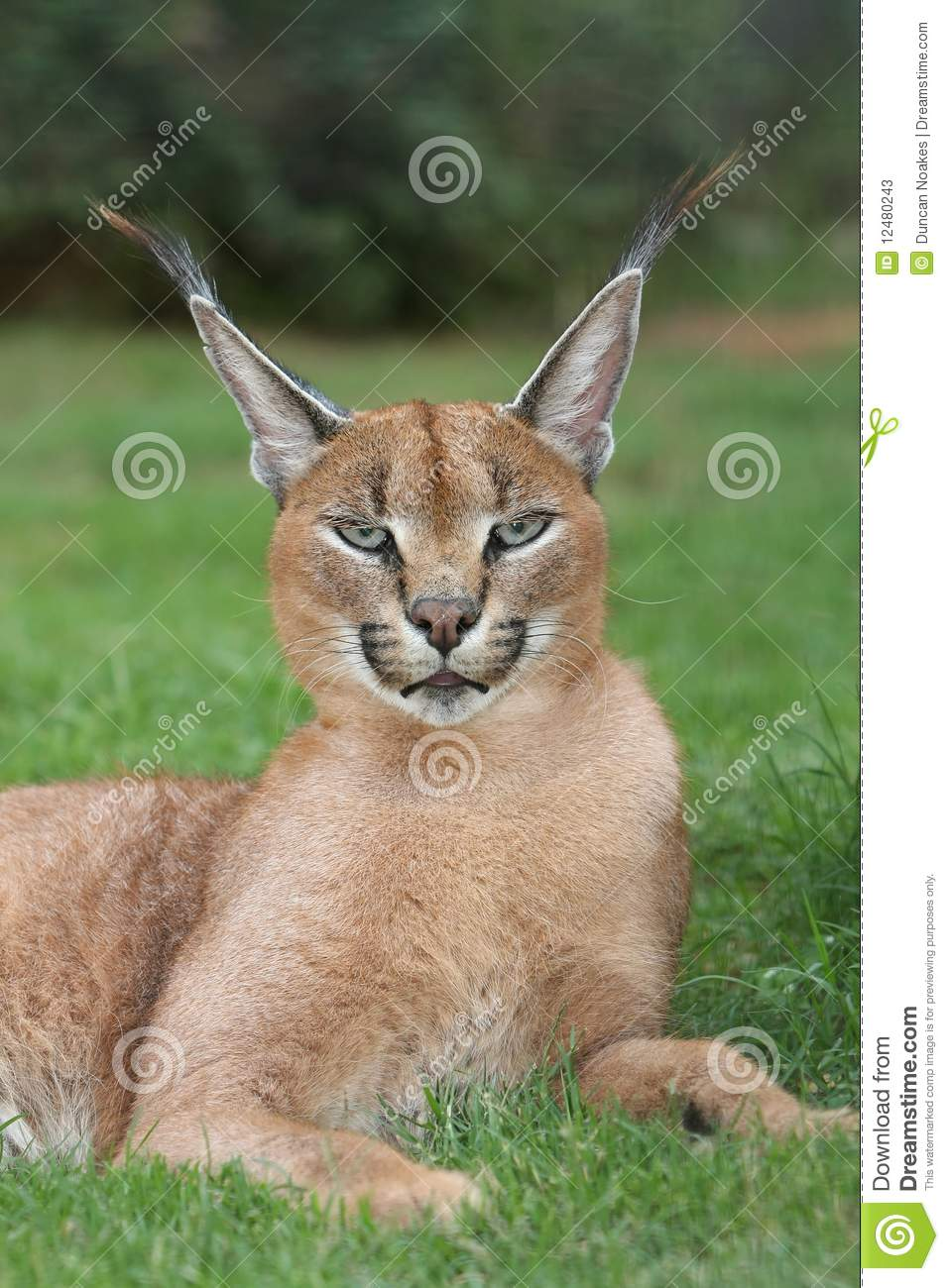 Lynx Or Caracal Wild Cat Stock Image Image Of Lynx