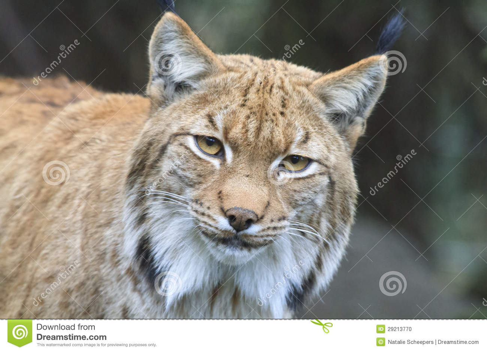Lynx carpathien