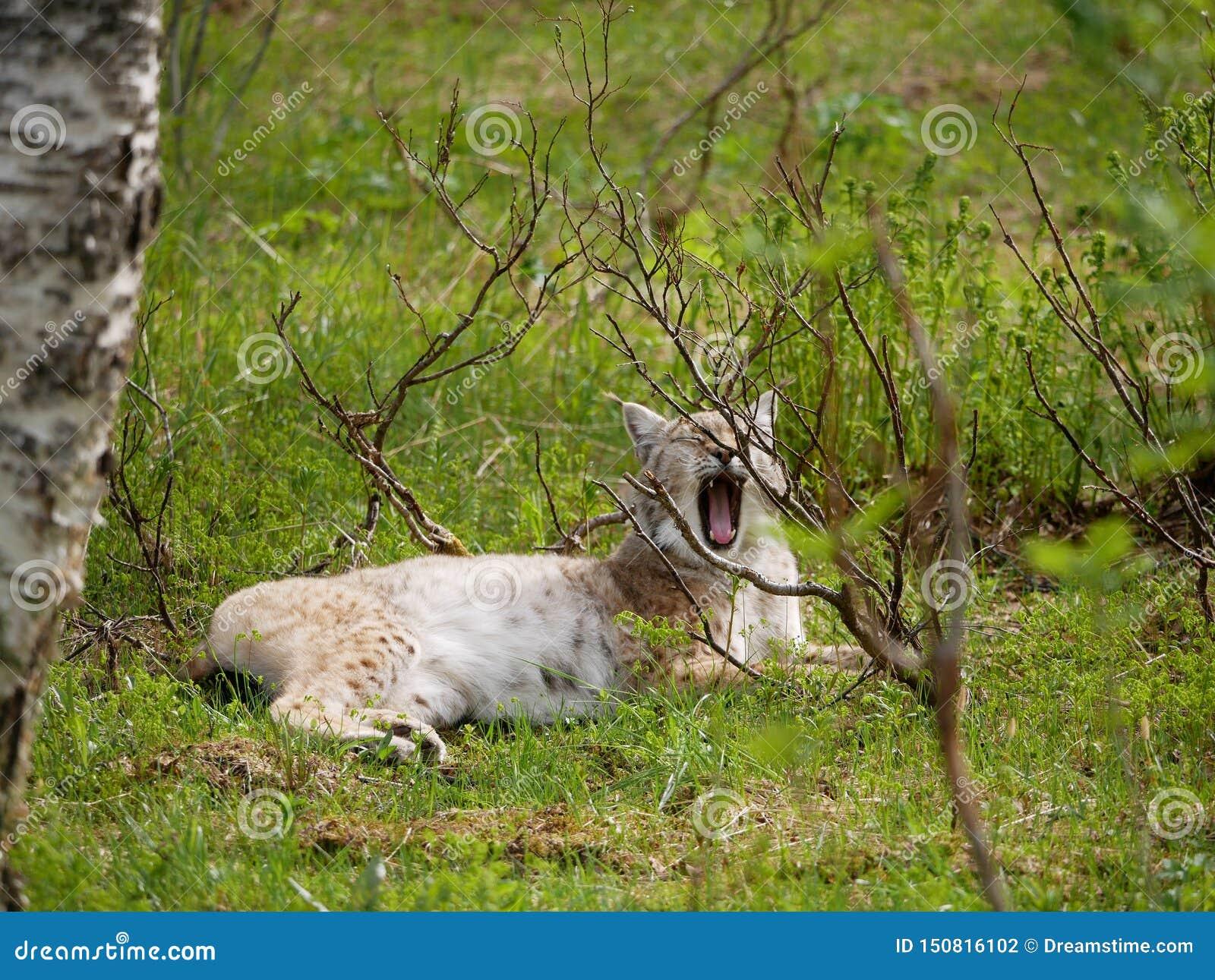 Lynx d embardées dans la forêt de région sauvage dans le nord