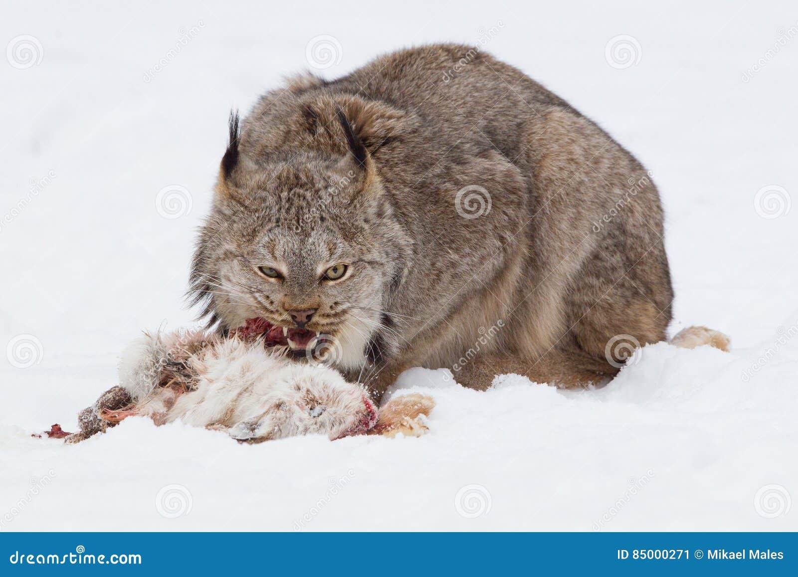 lynx-eating-rabbit-snowshoe-hare-8500027