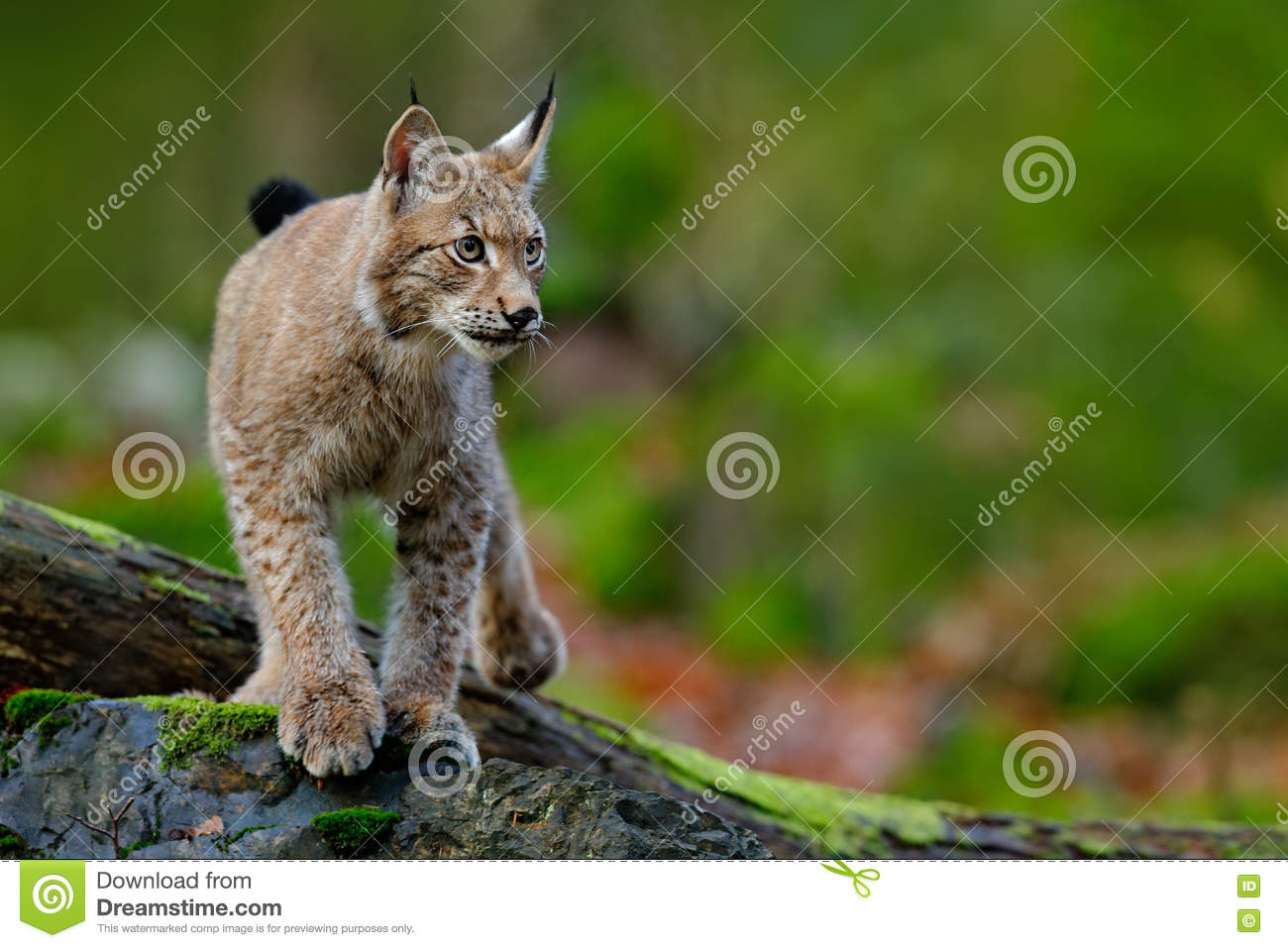 Lynx, eurasian wild cat walking on green moss stone with green forest in background, animal in the nature habitat, Germany
