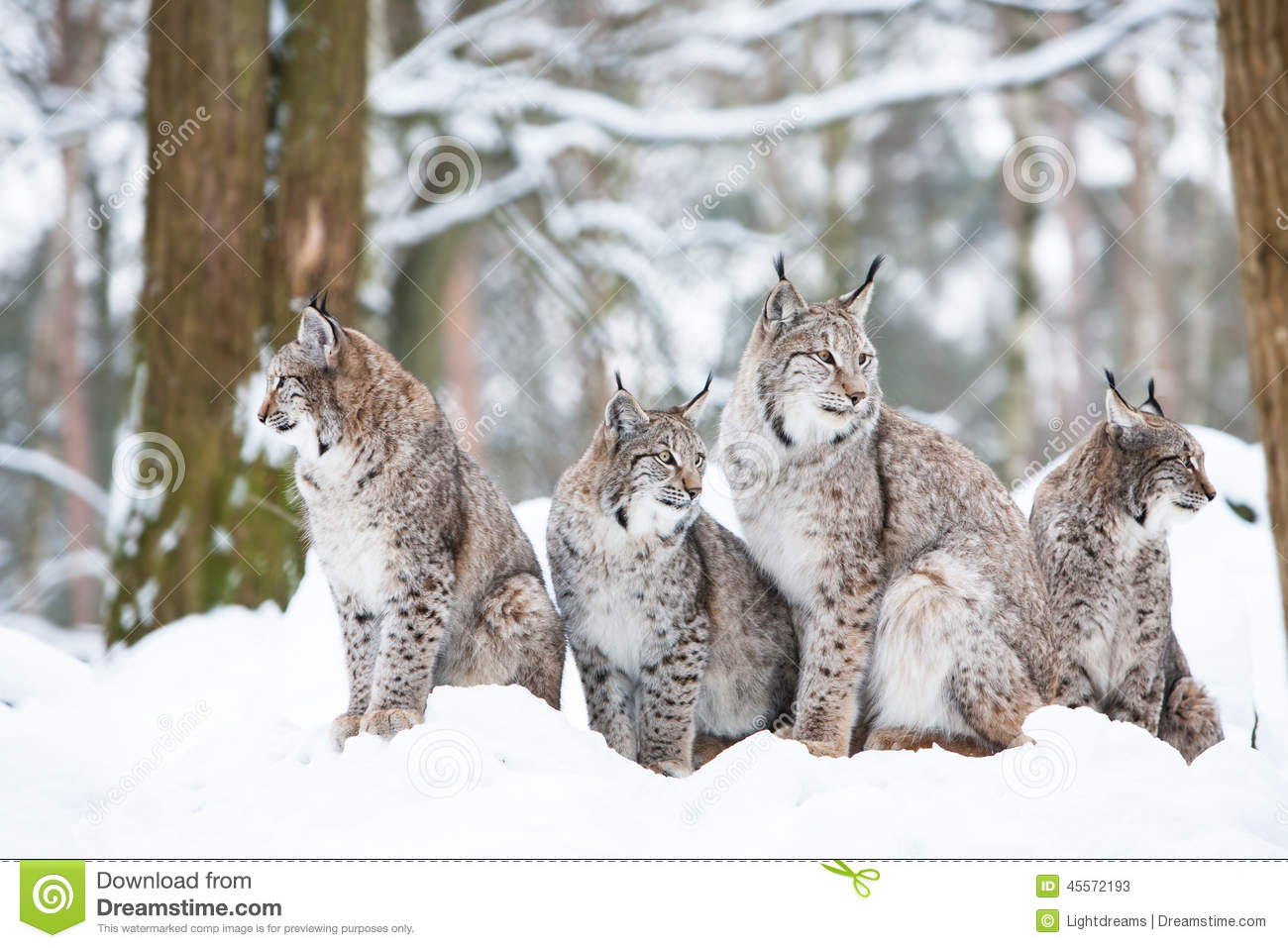 lynx family stock image image of nature creature