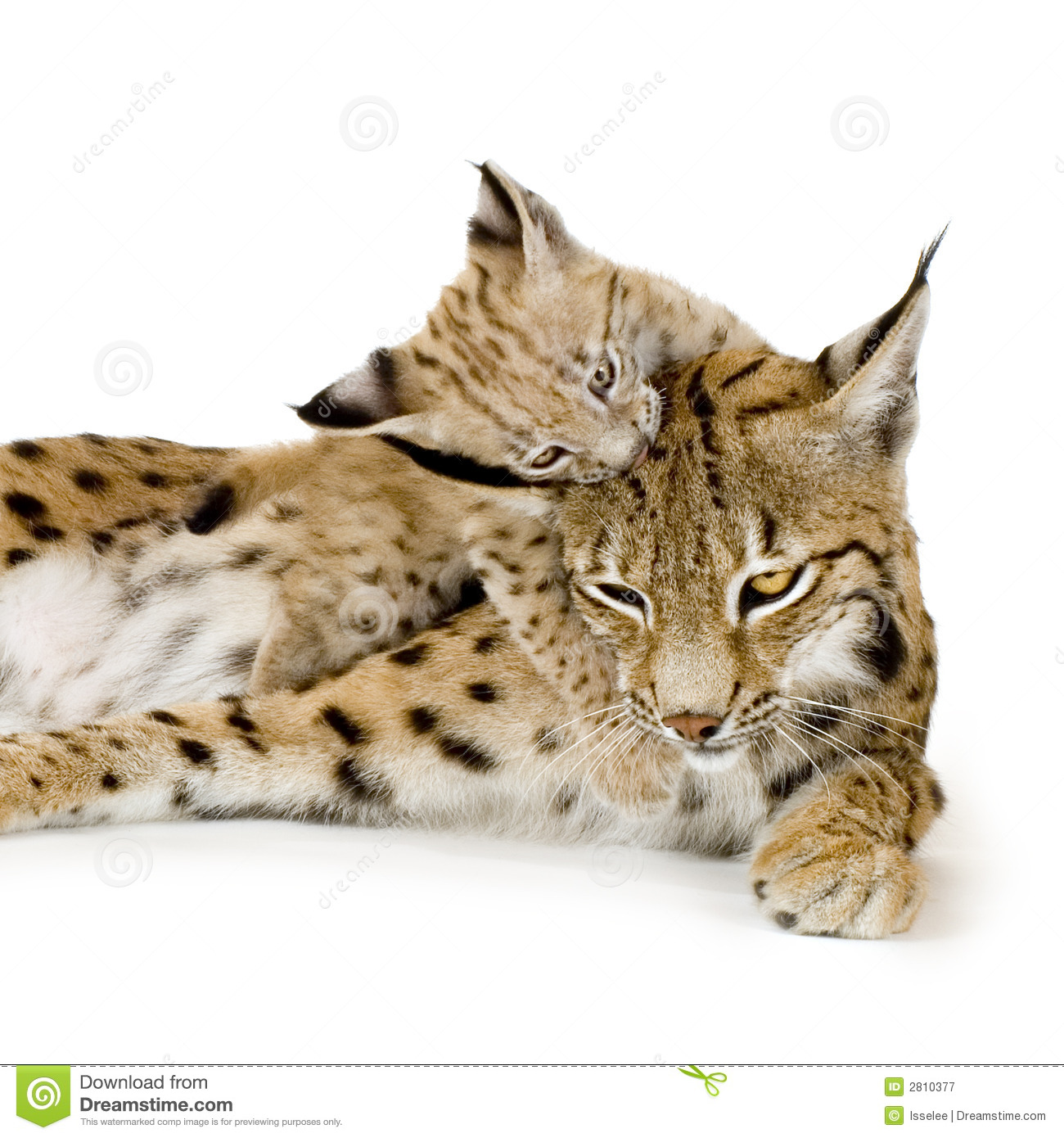Lynx And Her Cub Royalty Free Stock Photography Image