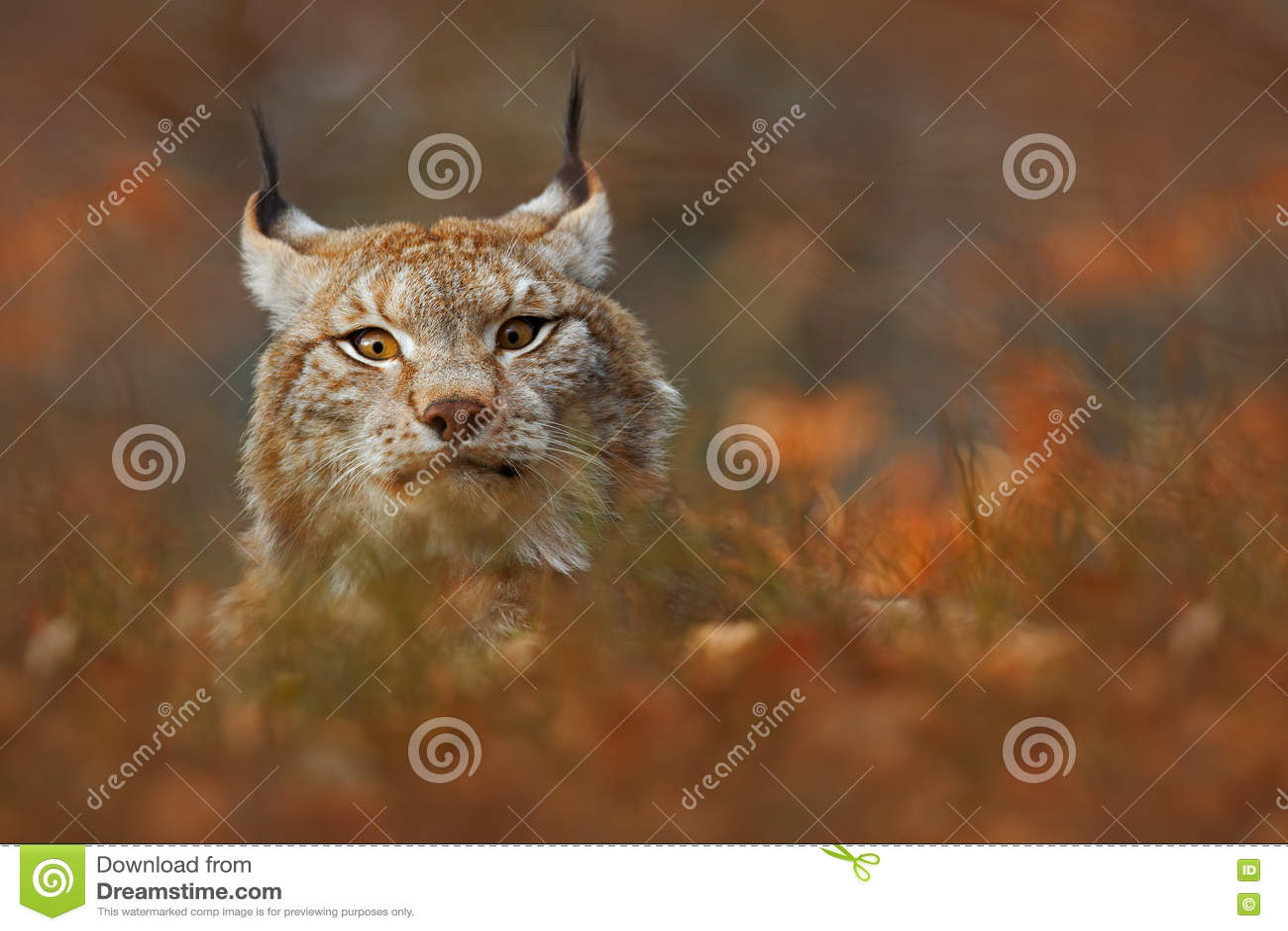 cat lynx autumn foliage - photo #6