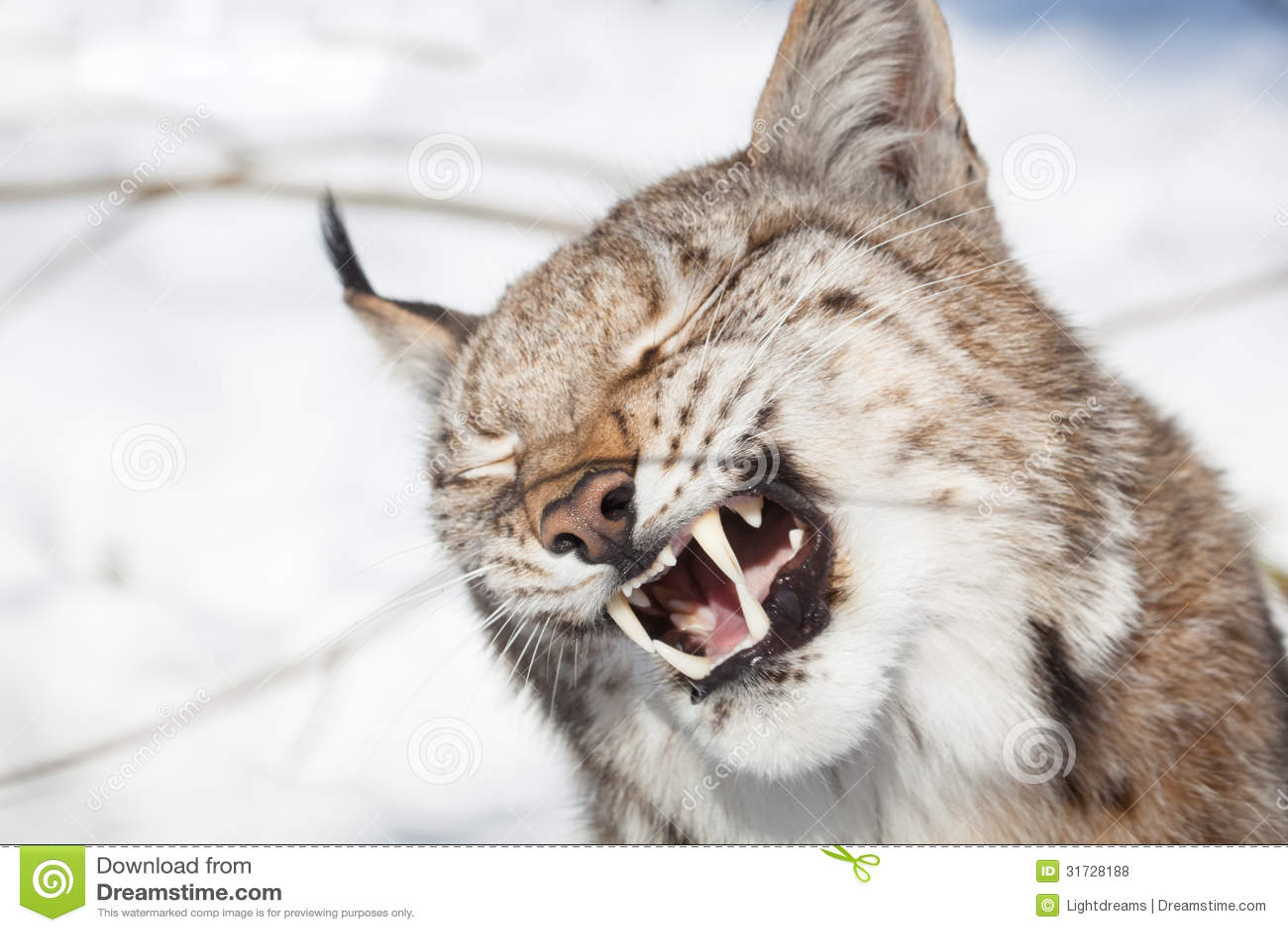 Lynx Portrait Royalty Free Stock Photos Image 31728188