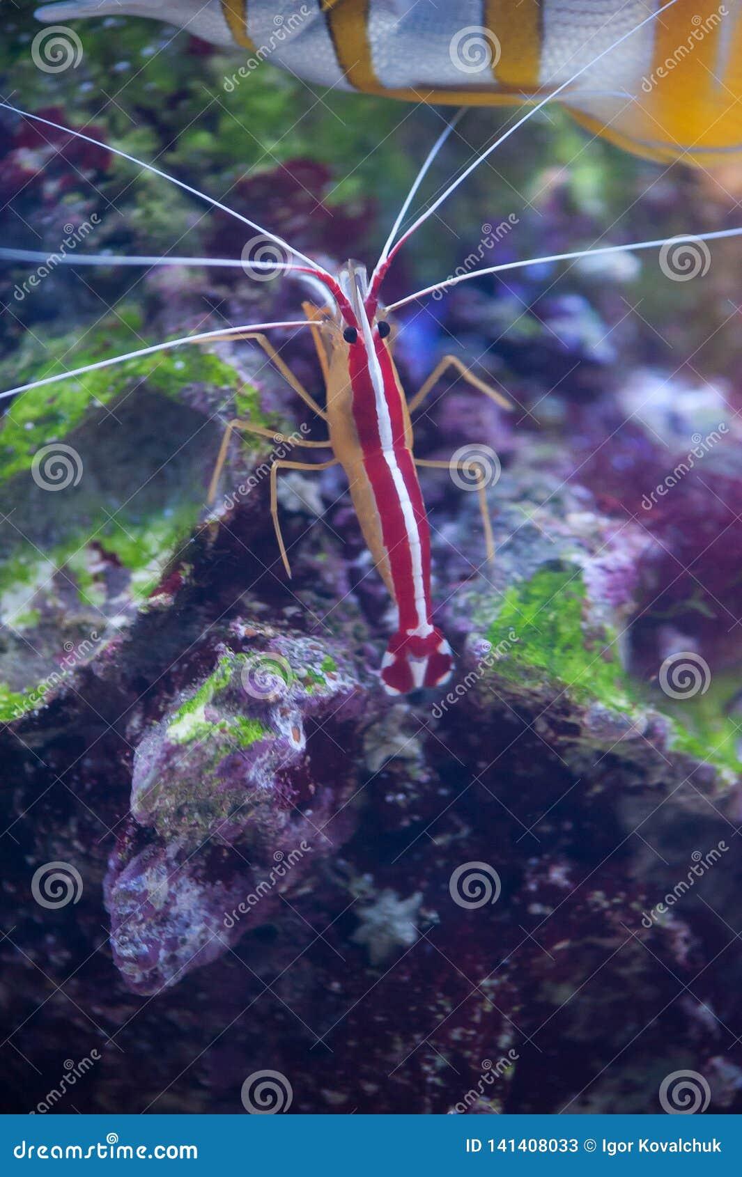 Scarlet Skunk Cleaner Shrimp in marine aquarium