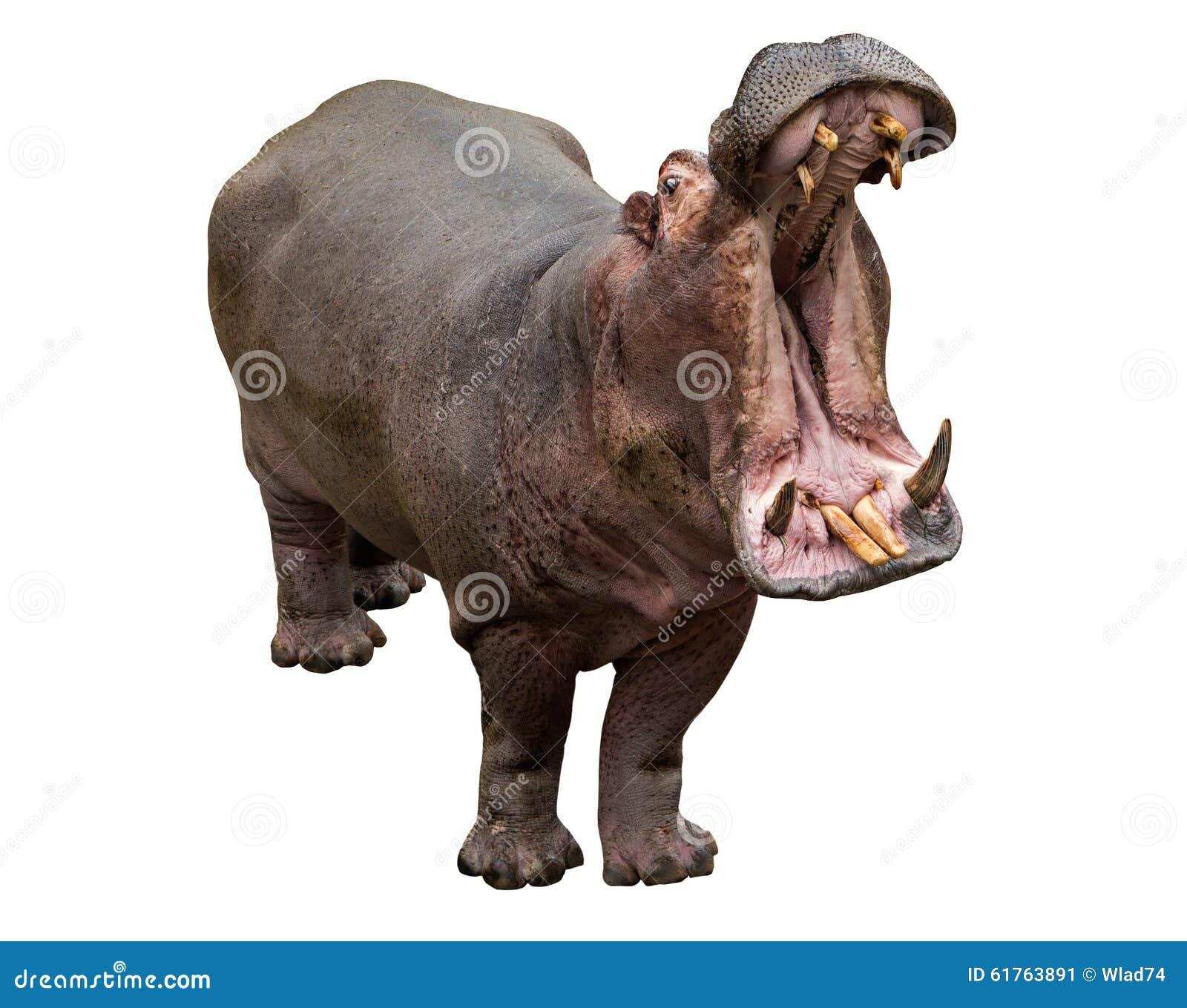 Mâchoires d ouverture d hippopotame sur le fond blanc
