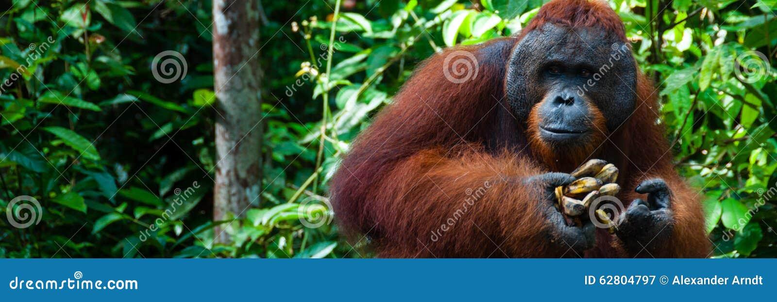 Mâle alpha d Utan d orang-outan avec la banane au Bornéo