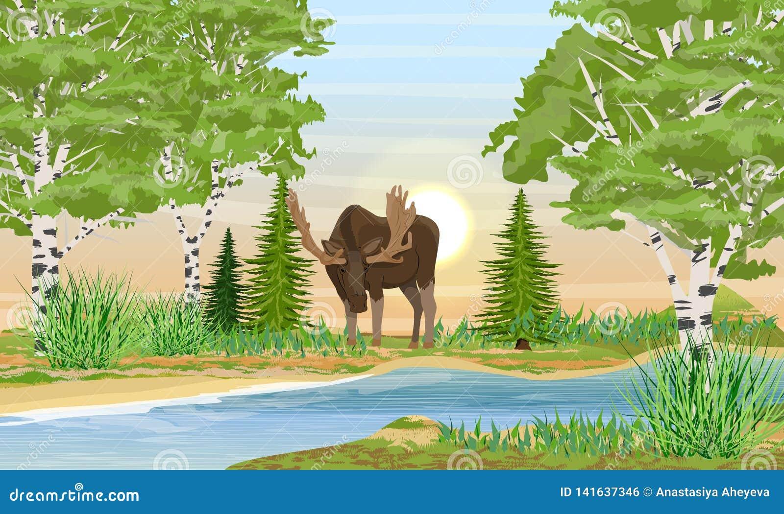 Mâle d élans avec de grands klaxons pliés au-dessus de la rivière Berge avec l herbe, les arbres et les arbres de bouleau