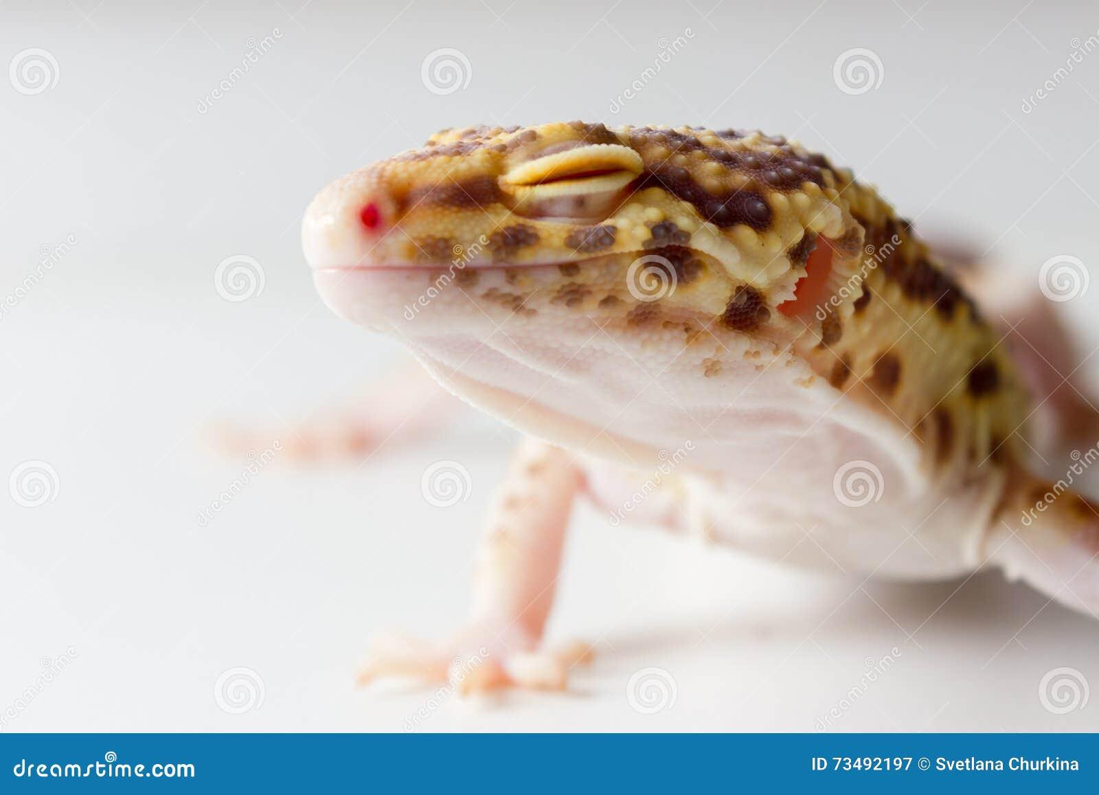 Mâle de gecko de léopard