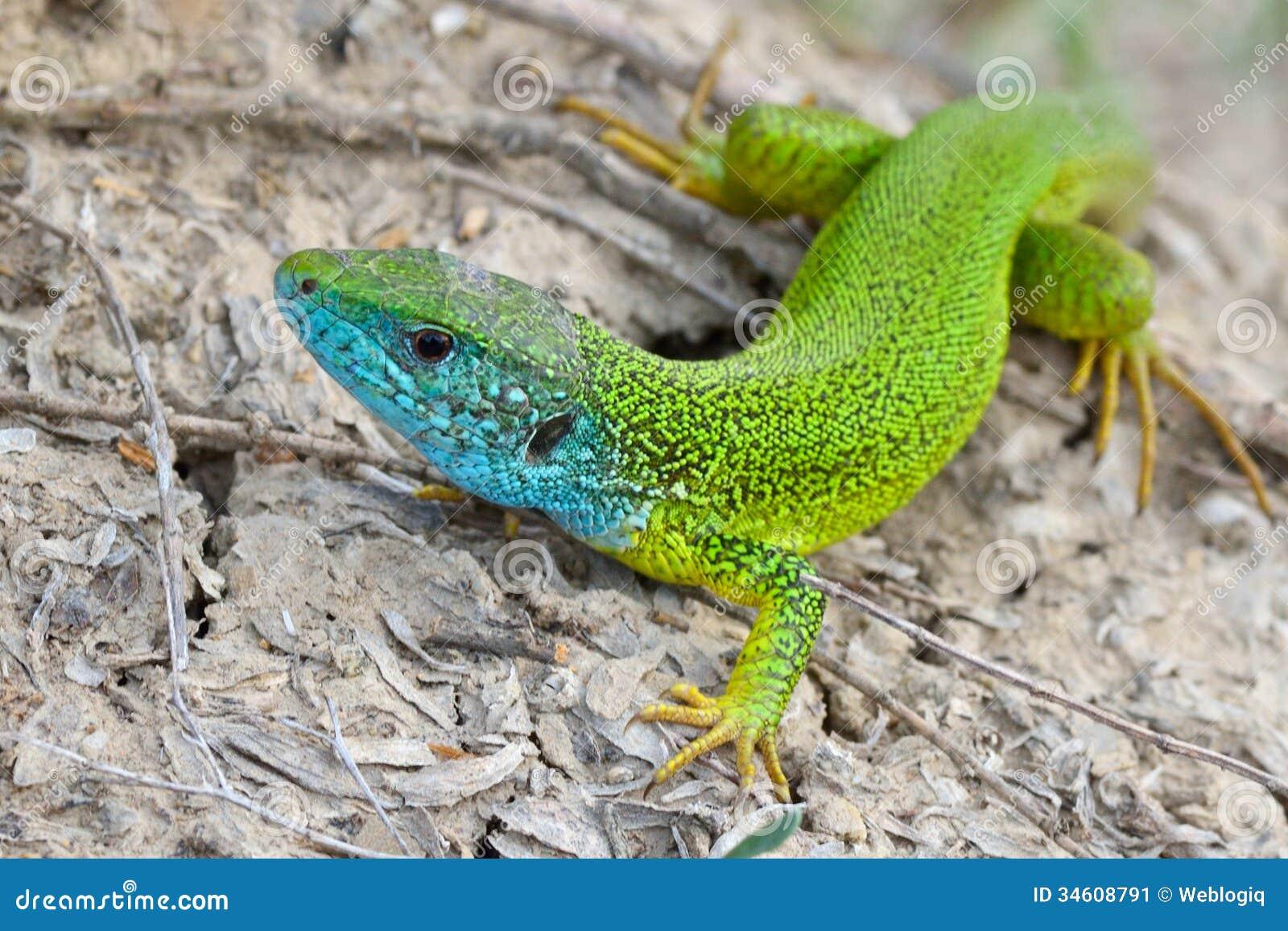 Mâle de lézard vert - viridis de Lacerta