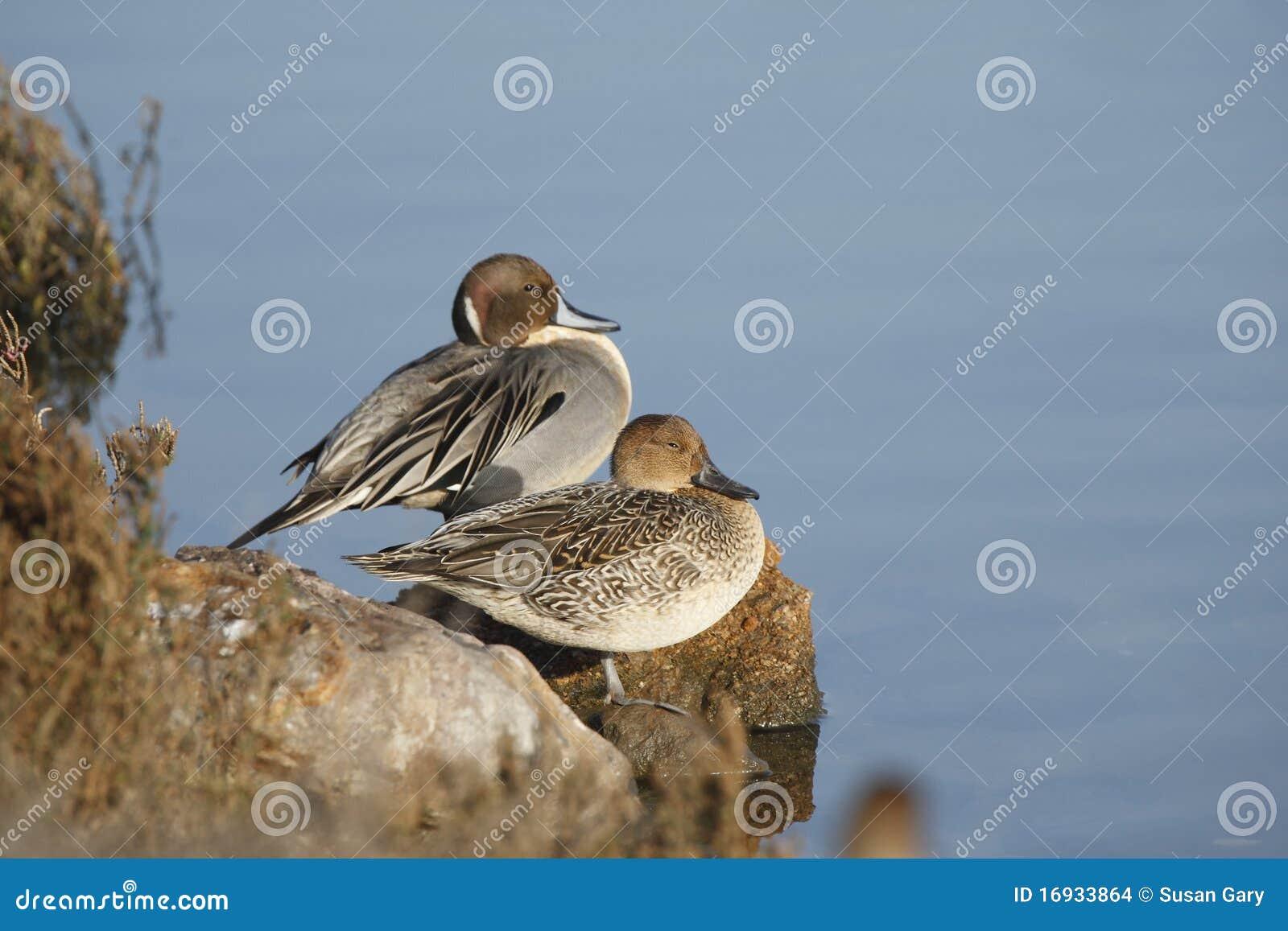 Mâle et canards pilets nordiques femelles