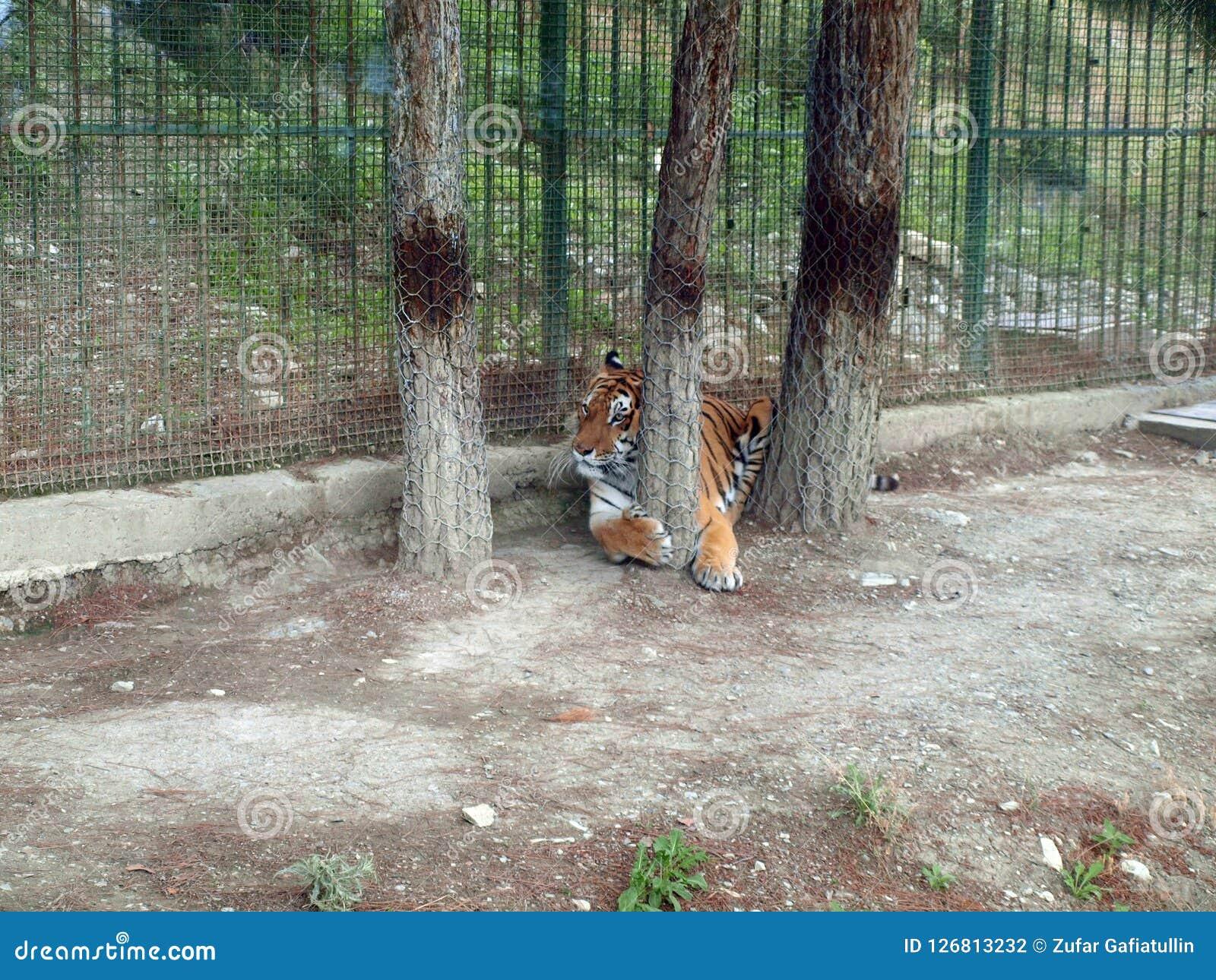 Mâle indien de tigre