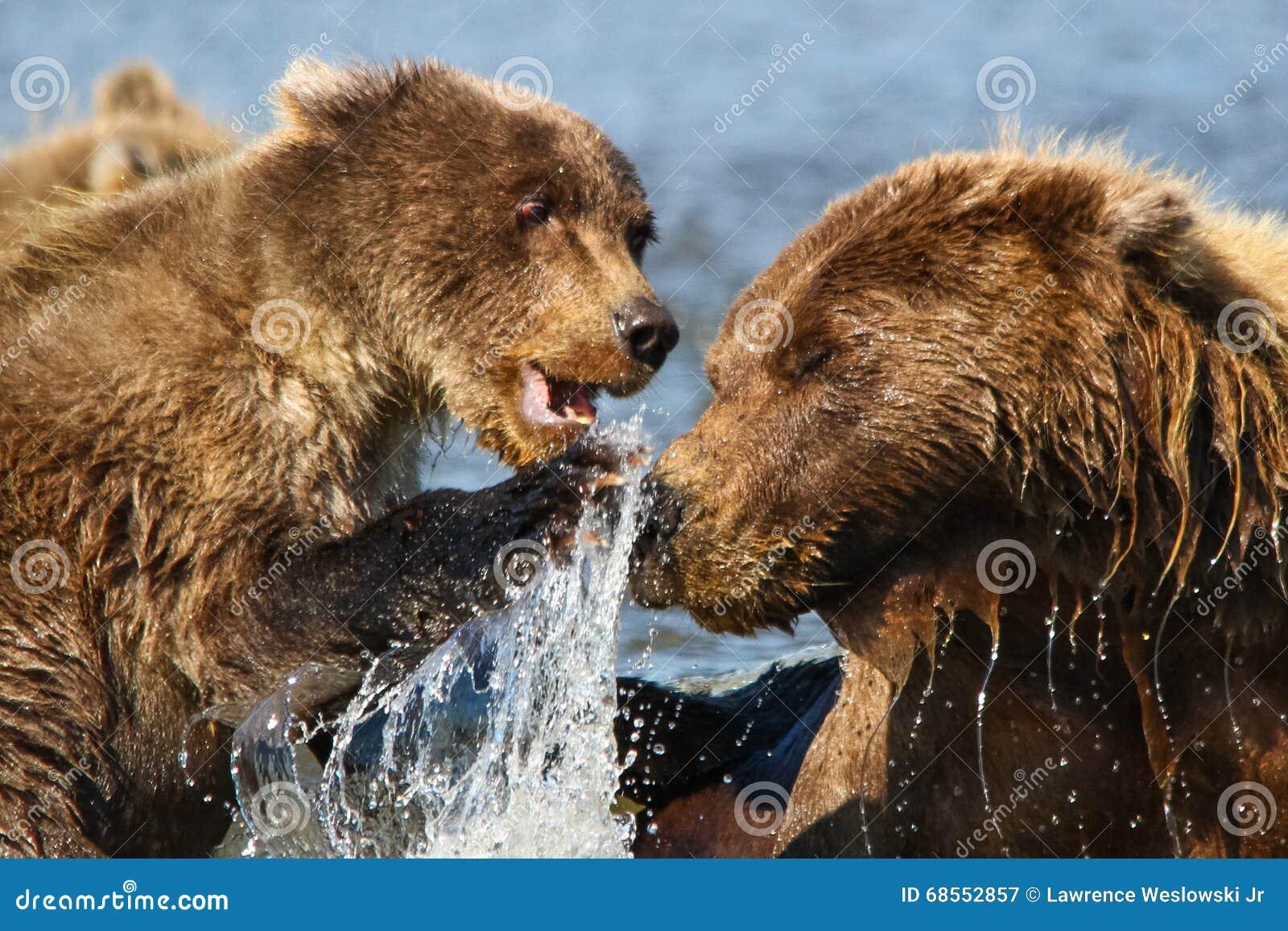 Mãe do urso de Alaska Brown e luta de Cub