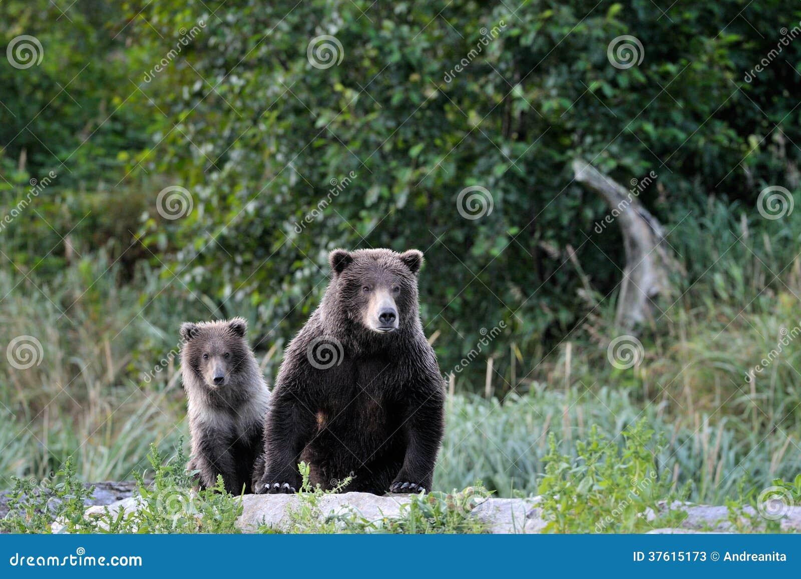 Mãe do urso pardo com filhote.