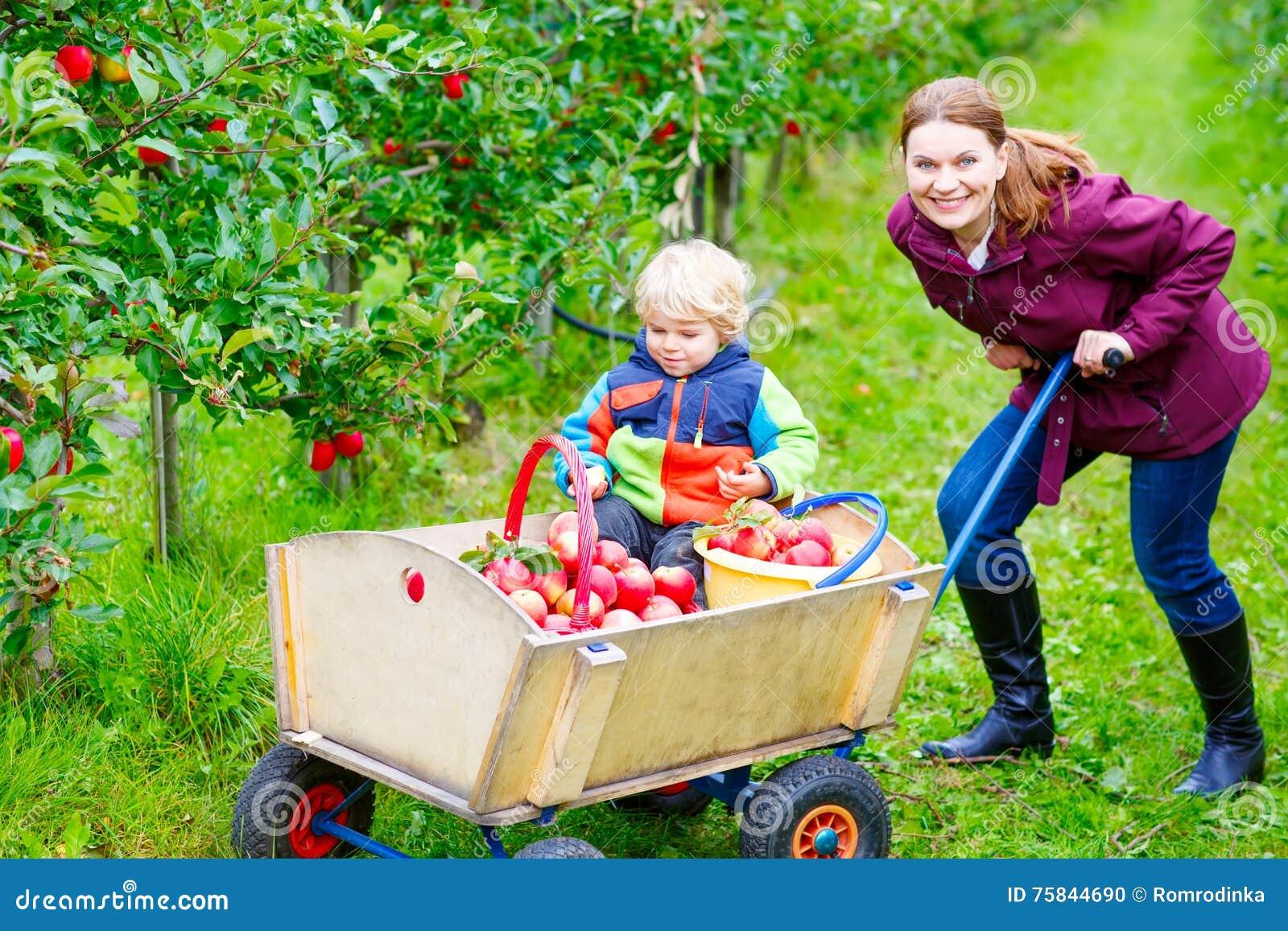 Mãe nova e maçãs pequenas da colheita do menino da criança